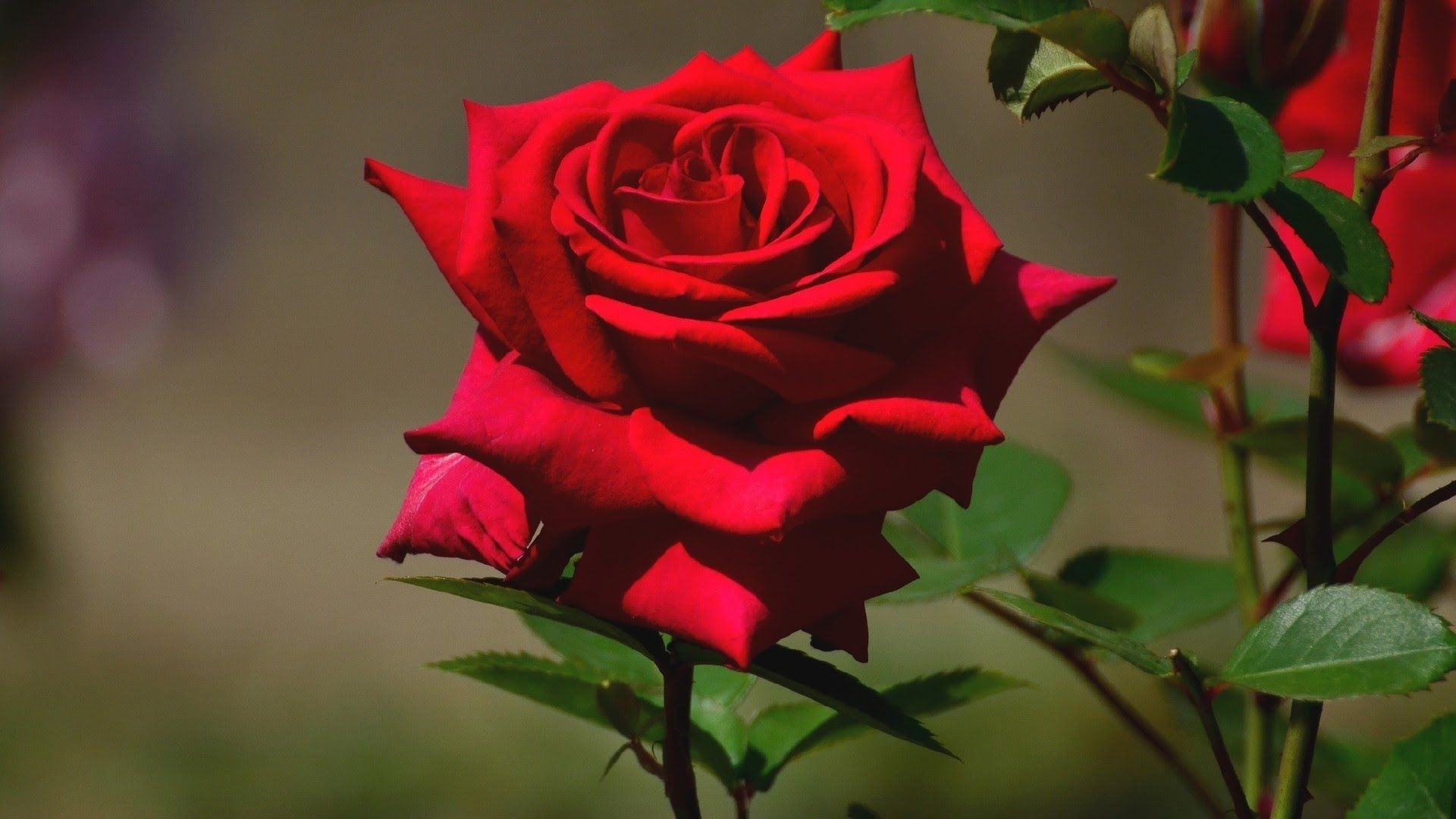 Red Rose Full HD Wallpaper