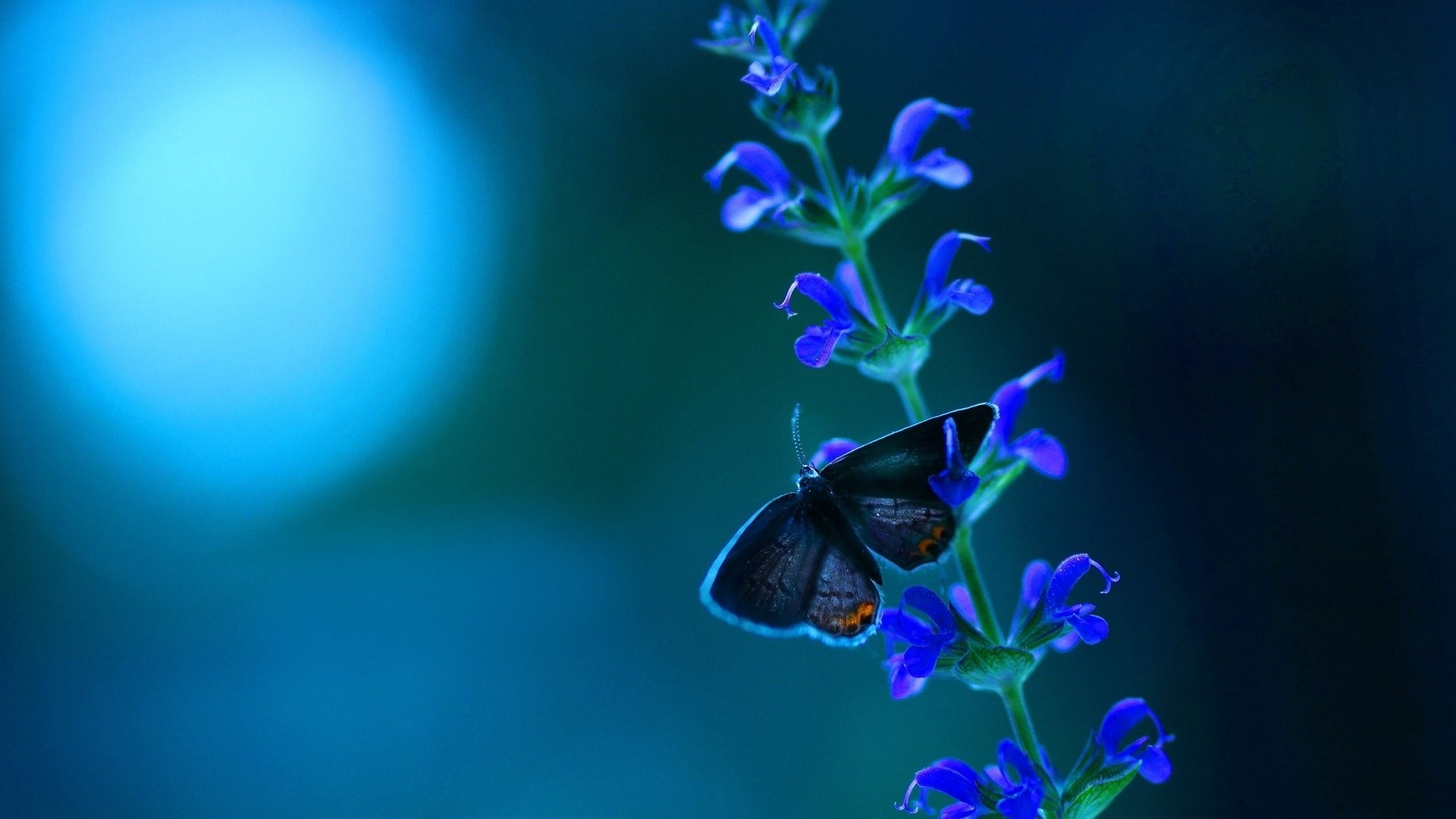 Blue Butterfly Picture