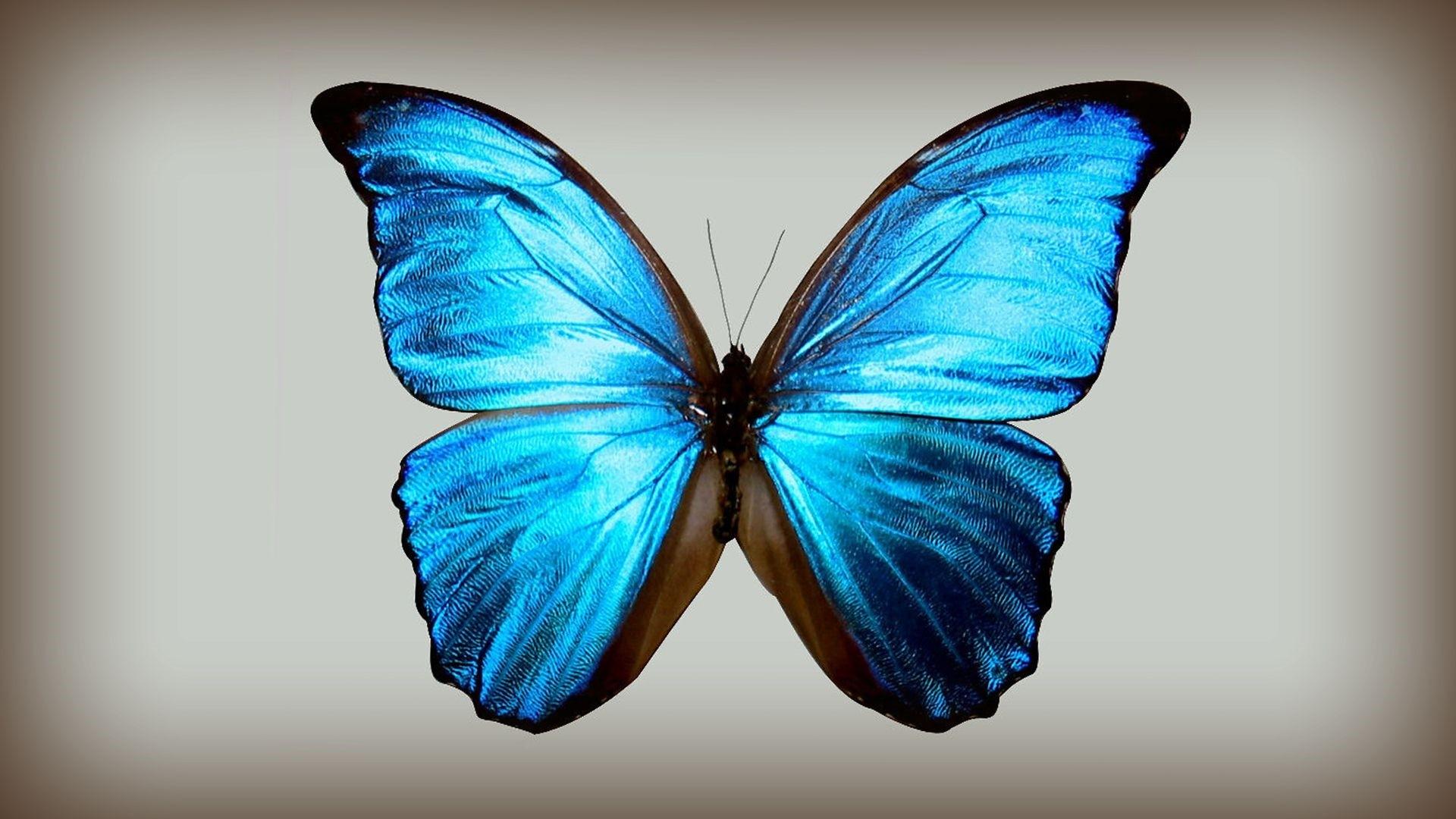 Blue Butterfly PC Wallpaper HD
