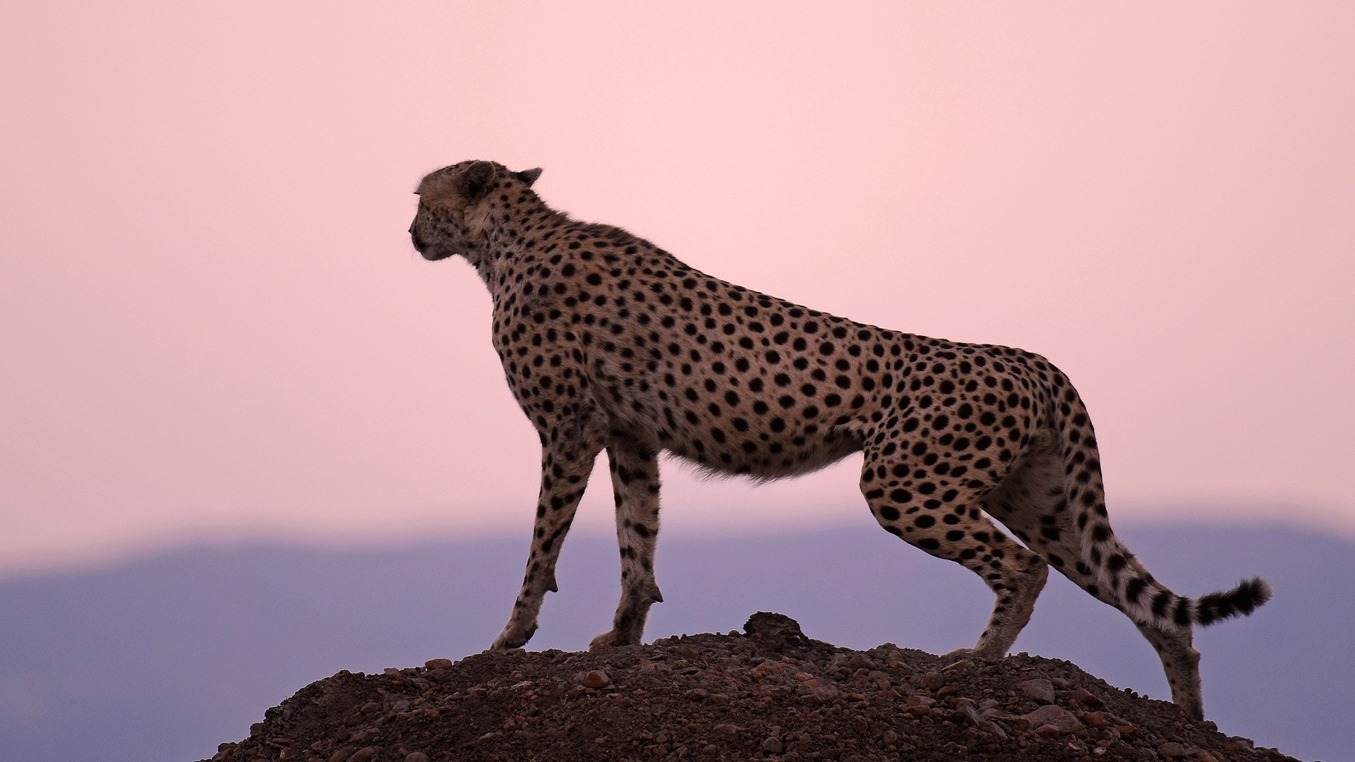 Cheetah Free Wallpaper and Background