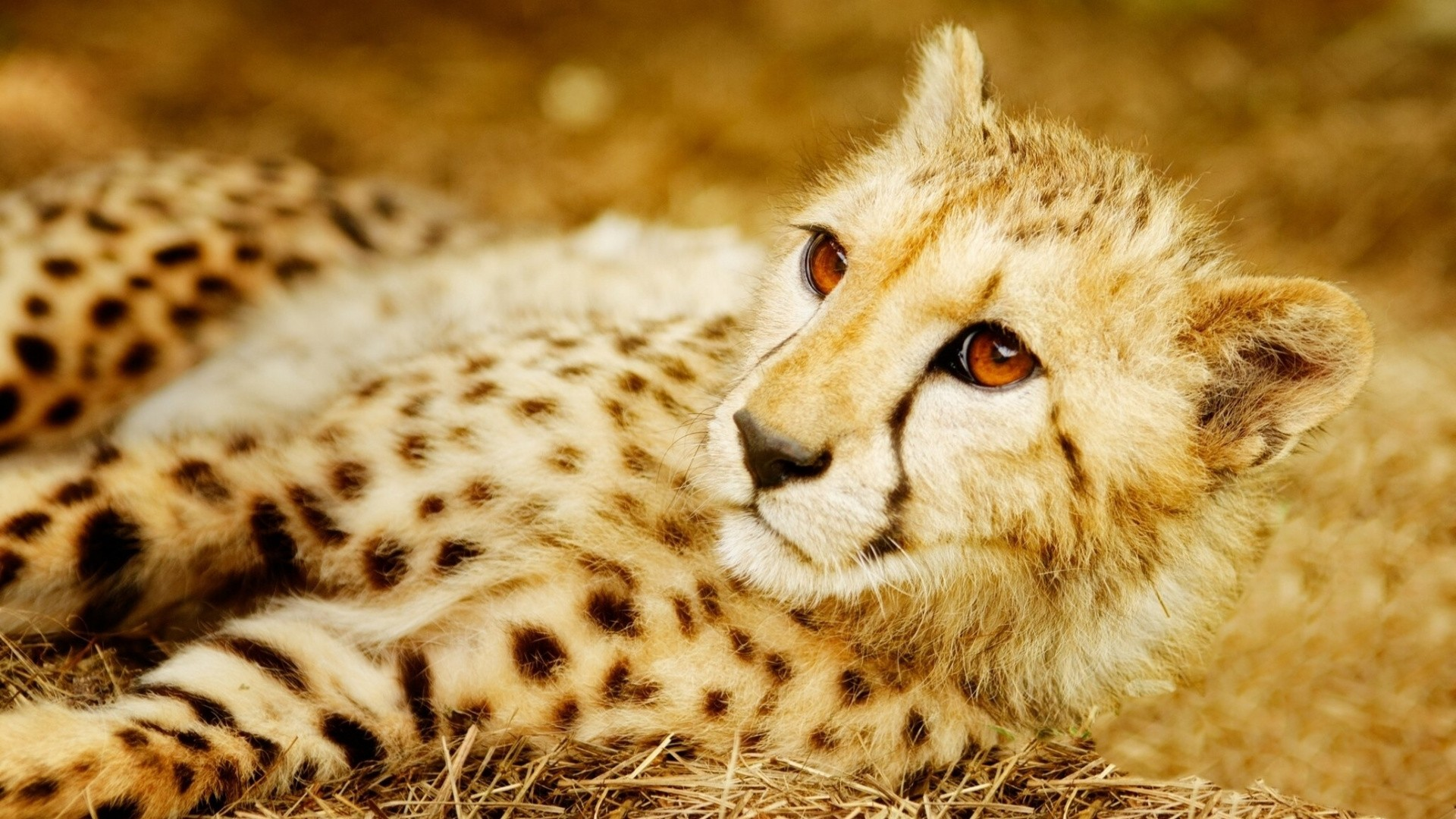 Cheetah HD Wallpaper