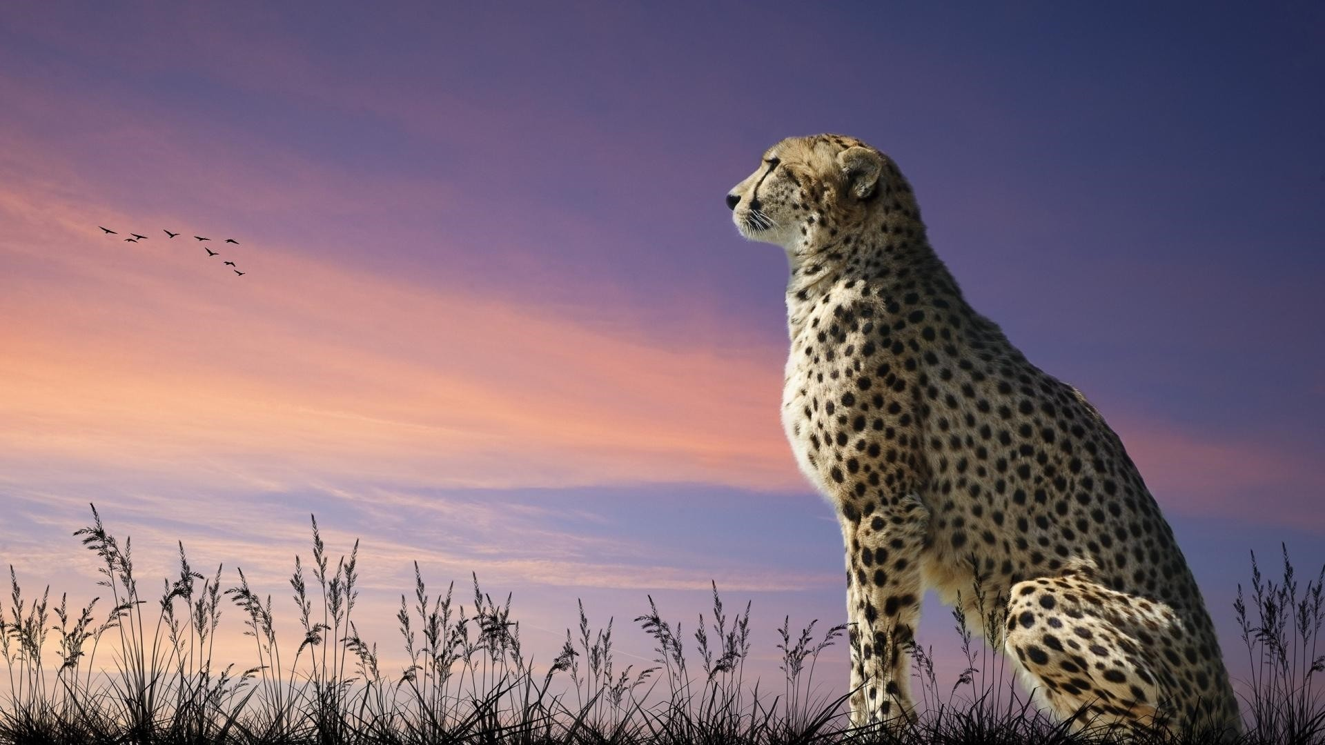 Cheetah hd desktop wallpaper