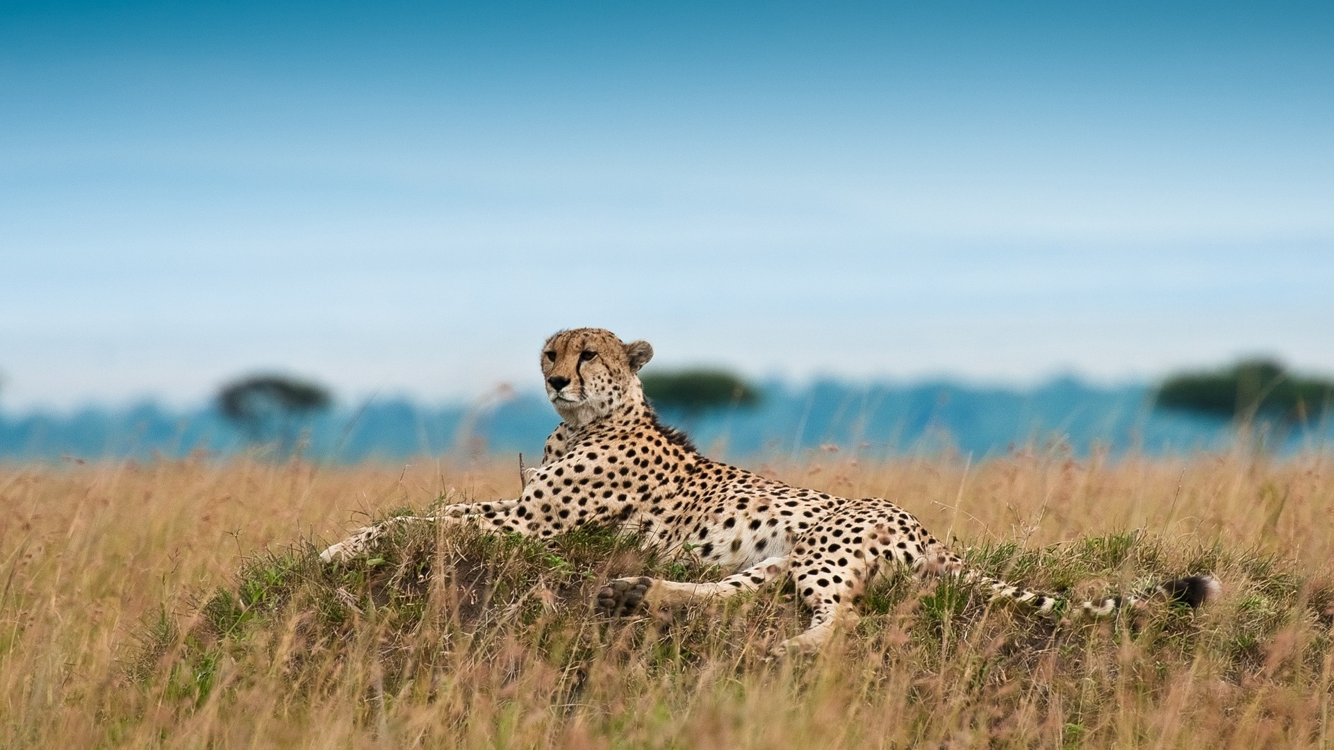 Cheetah Free Wallpaper