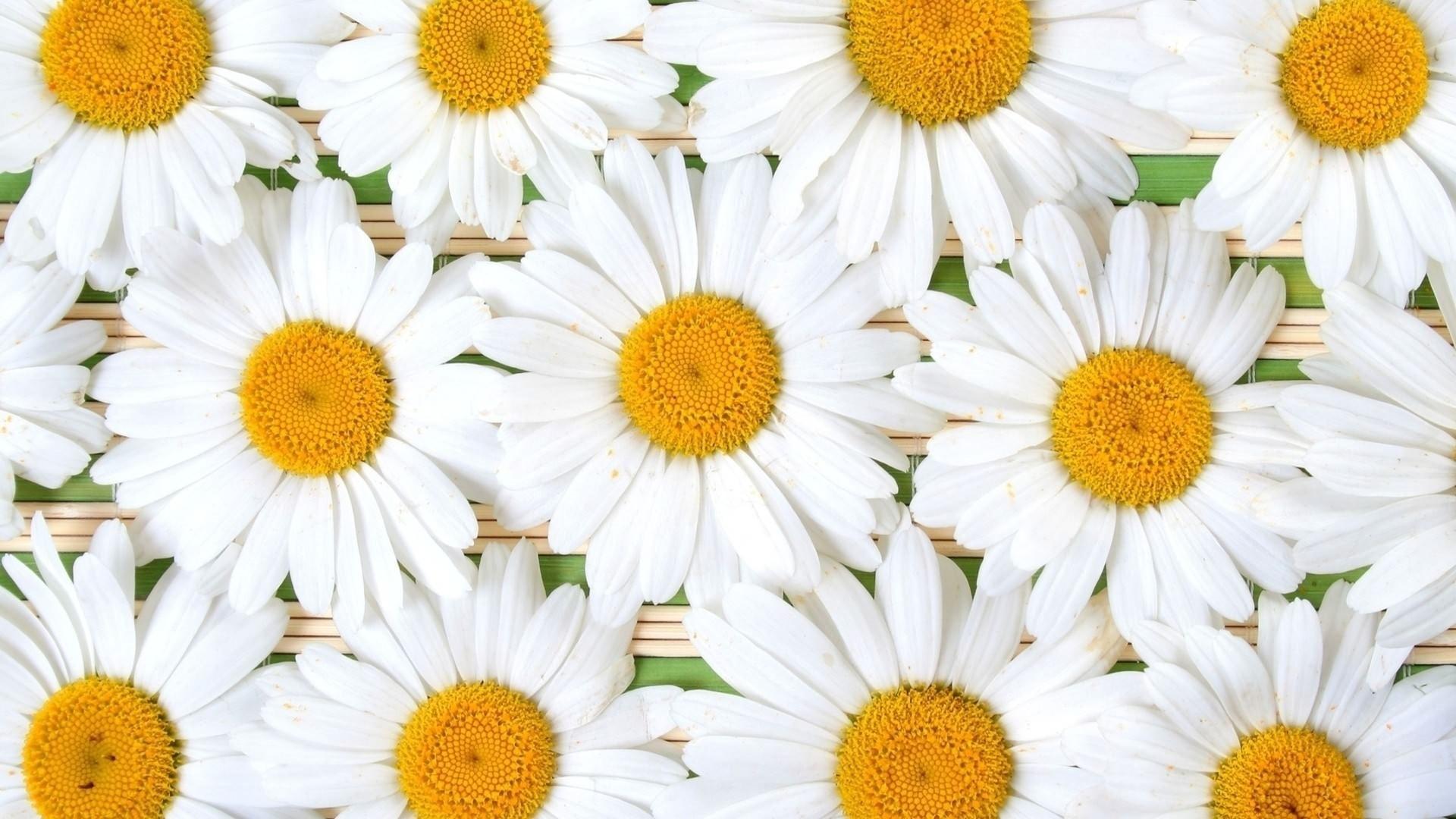 Daisy High Quality