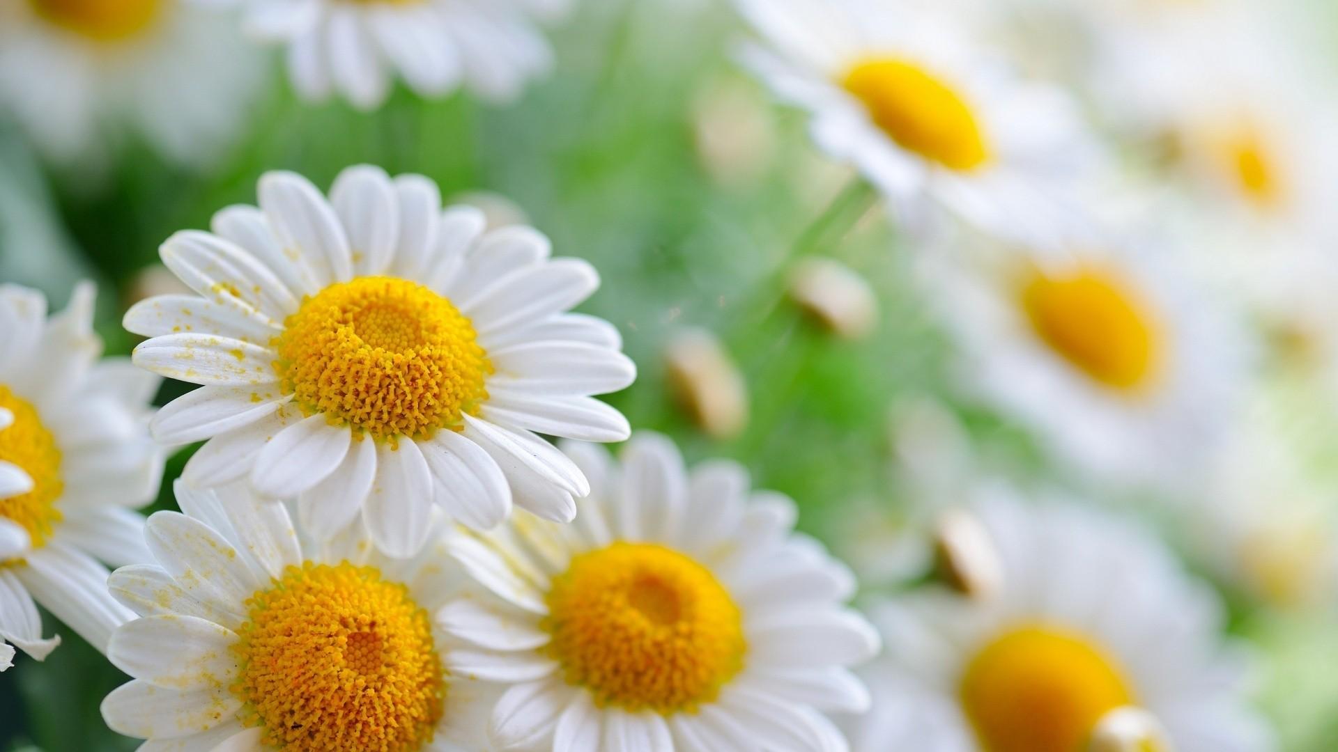Daisy wallpaper photo hd