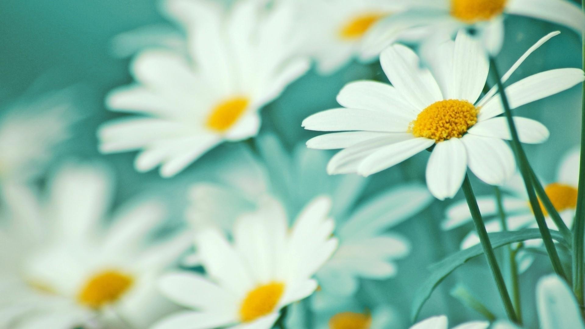 Daisy Full HD Wallpaper