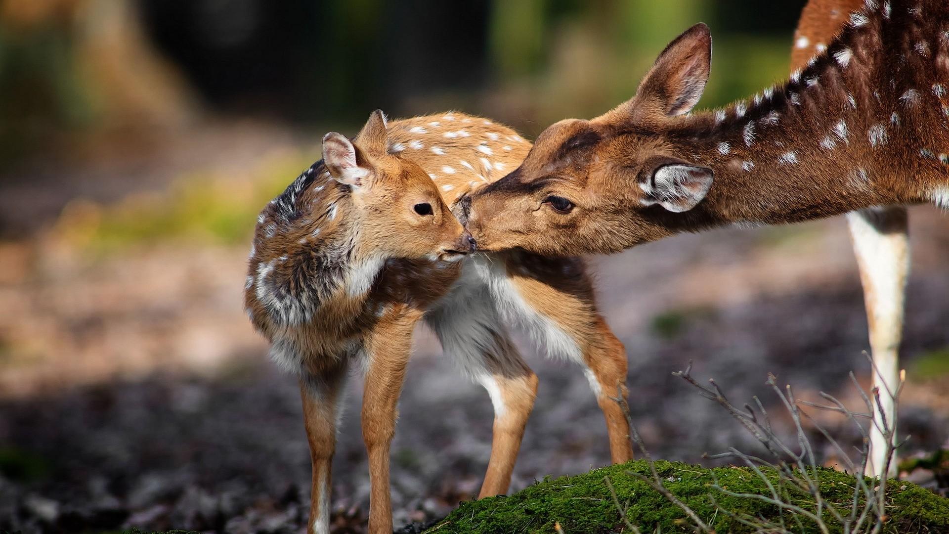 Deer Desktop Wallpaper