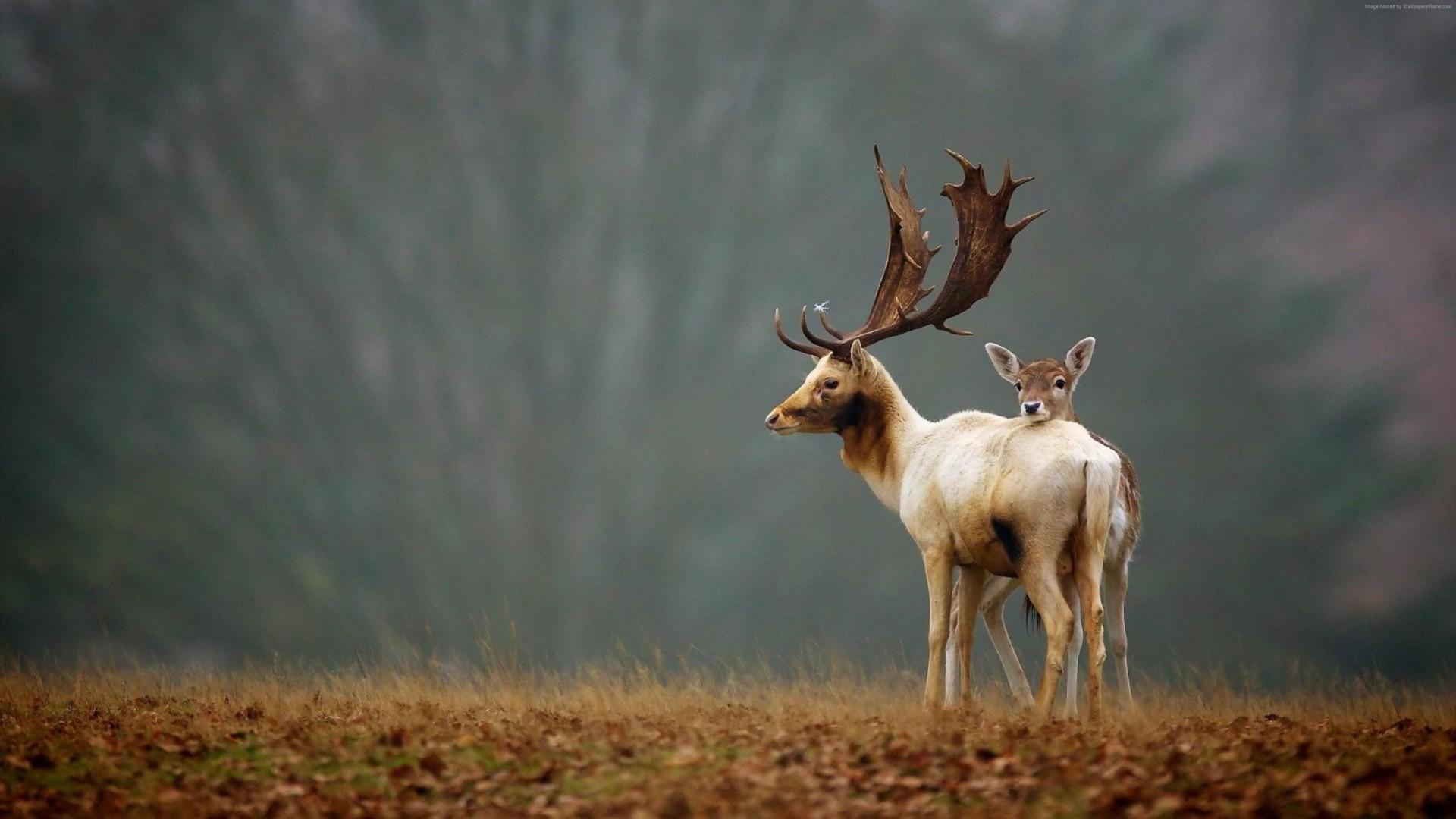 Deer HD Download