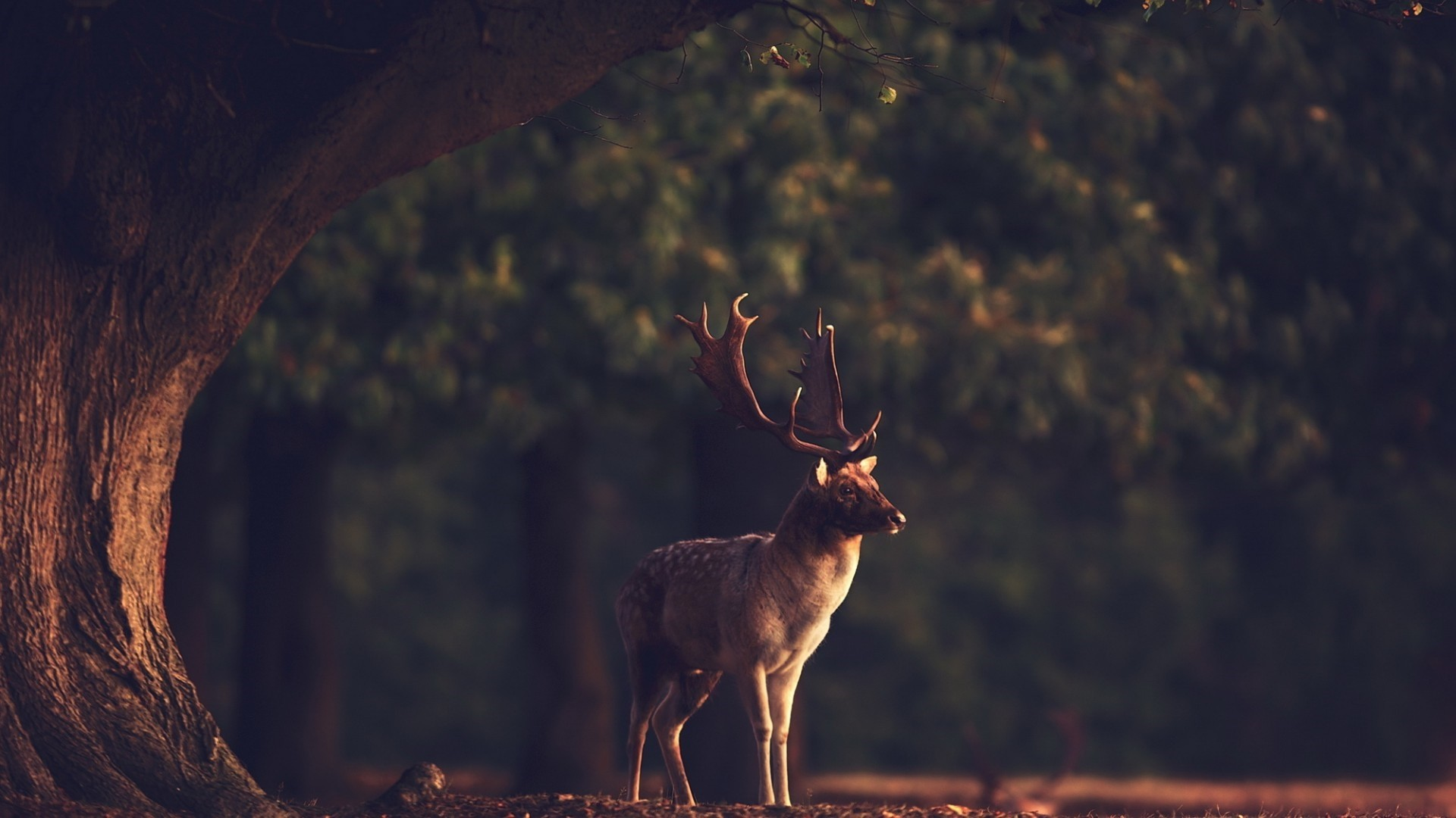 Deer wallpaper