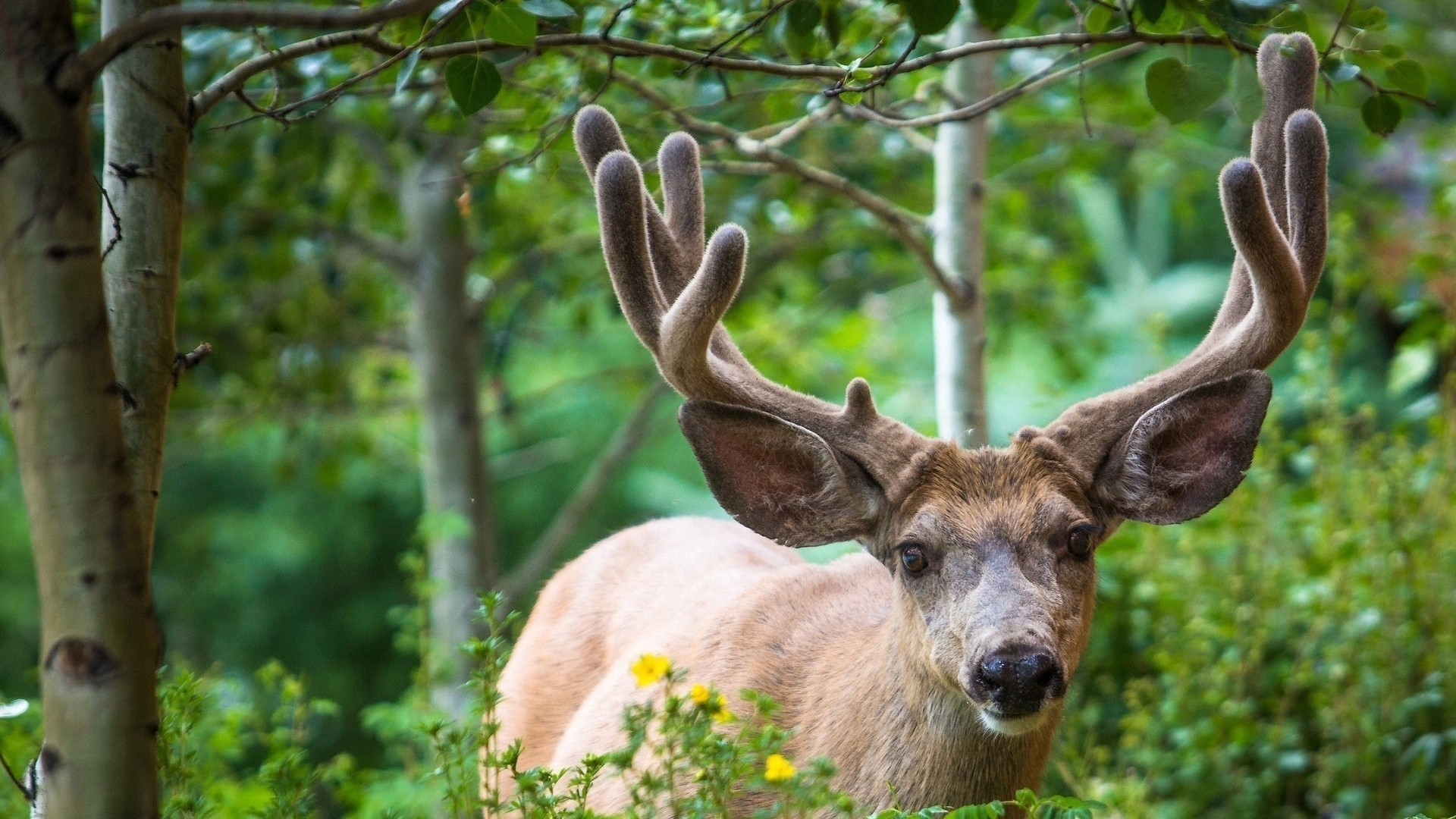 Deer Wallpaper and Background
