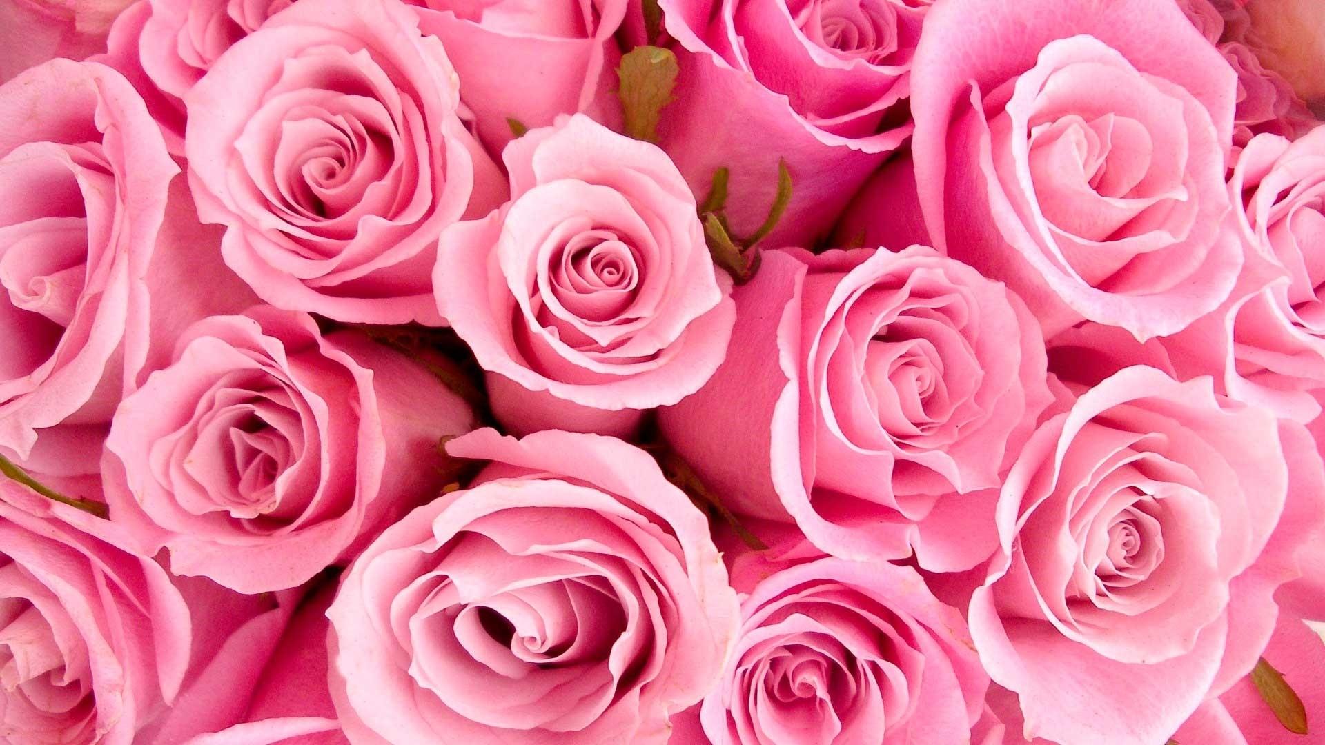 Pink Rose Free Wallpaper