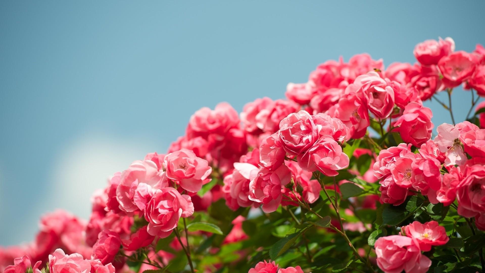 Pink Rose Pic