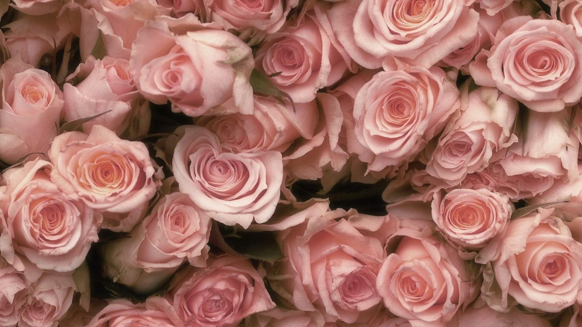Pink Rose Wallpaper image hd
