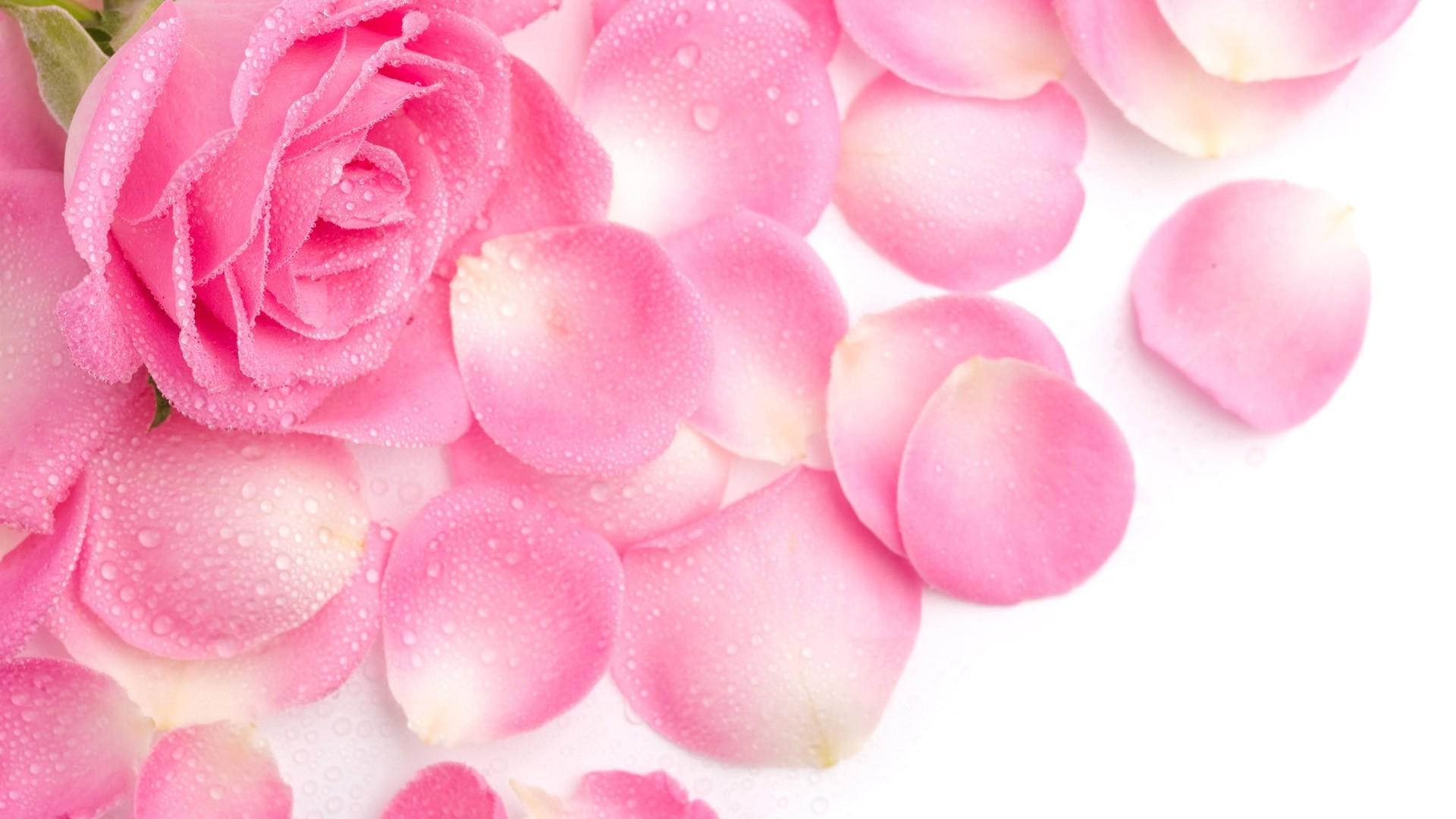 Pink Rose computer wallpaper
