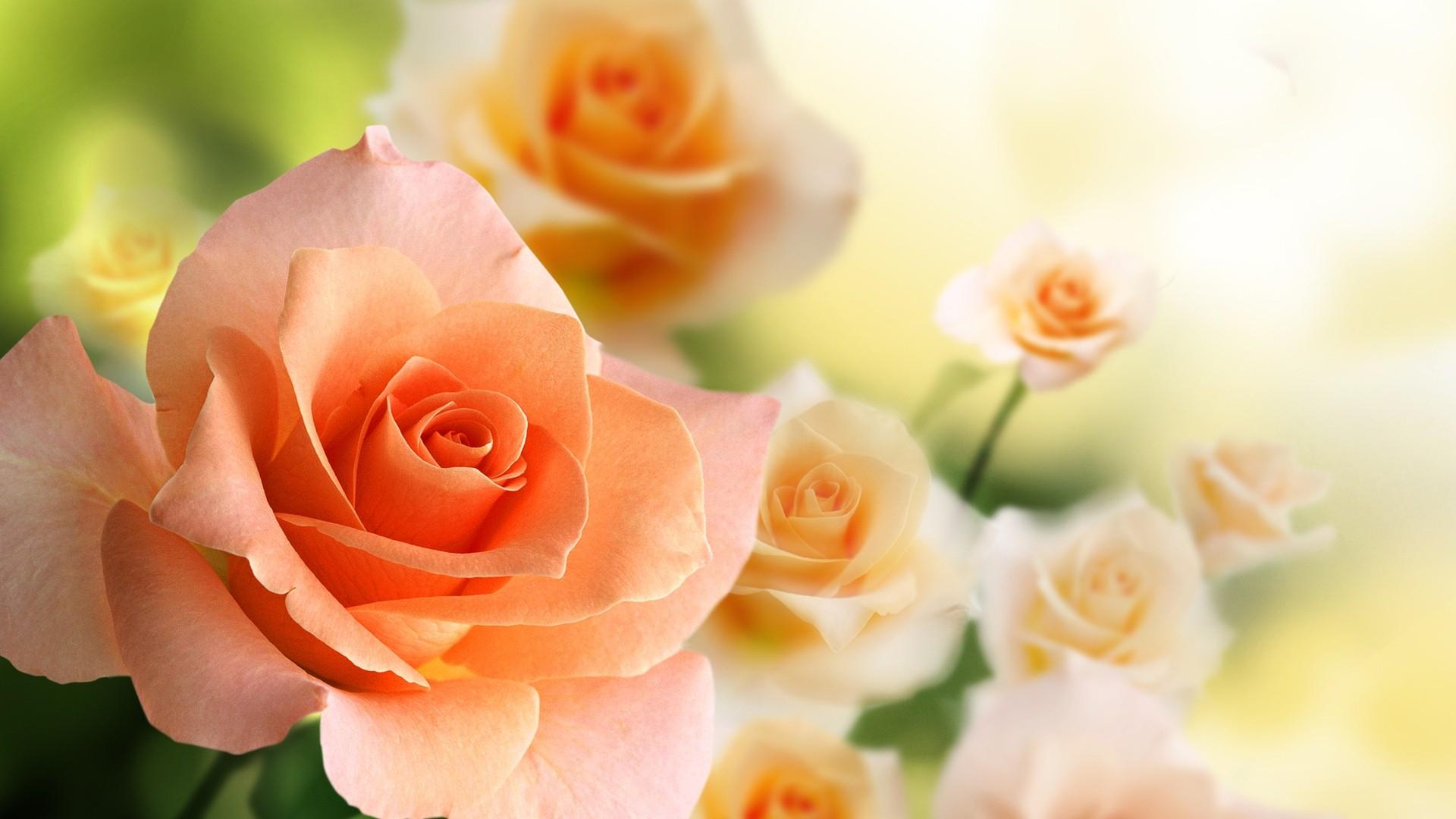 Pink Rose a wallpaper