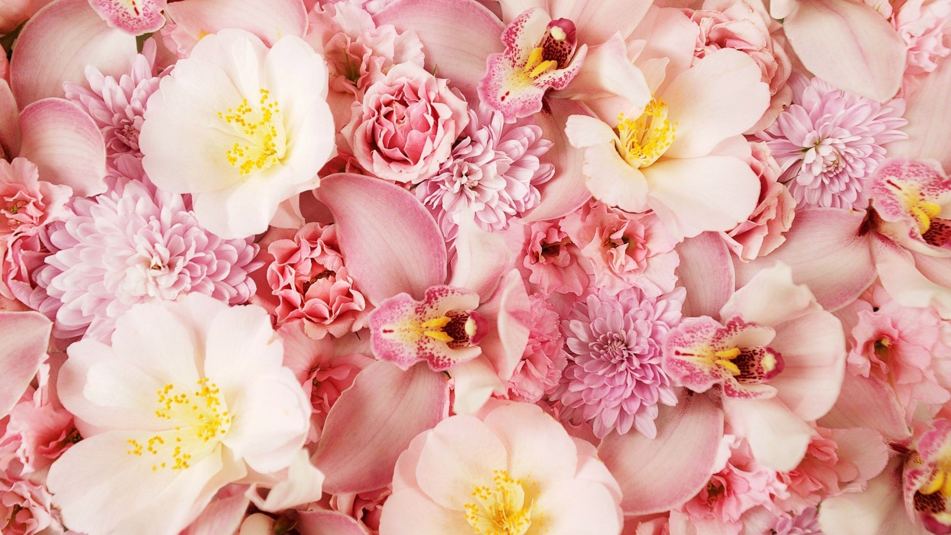 Pink Rose wallpaper
