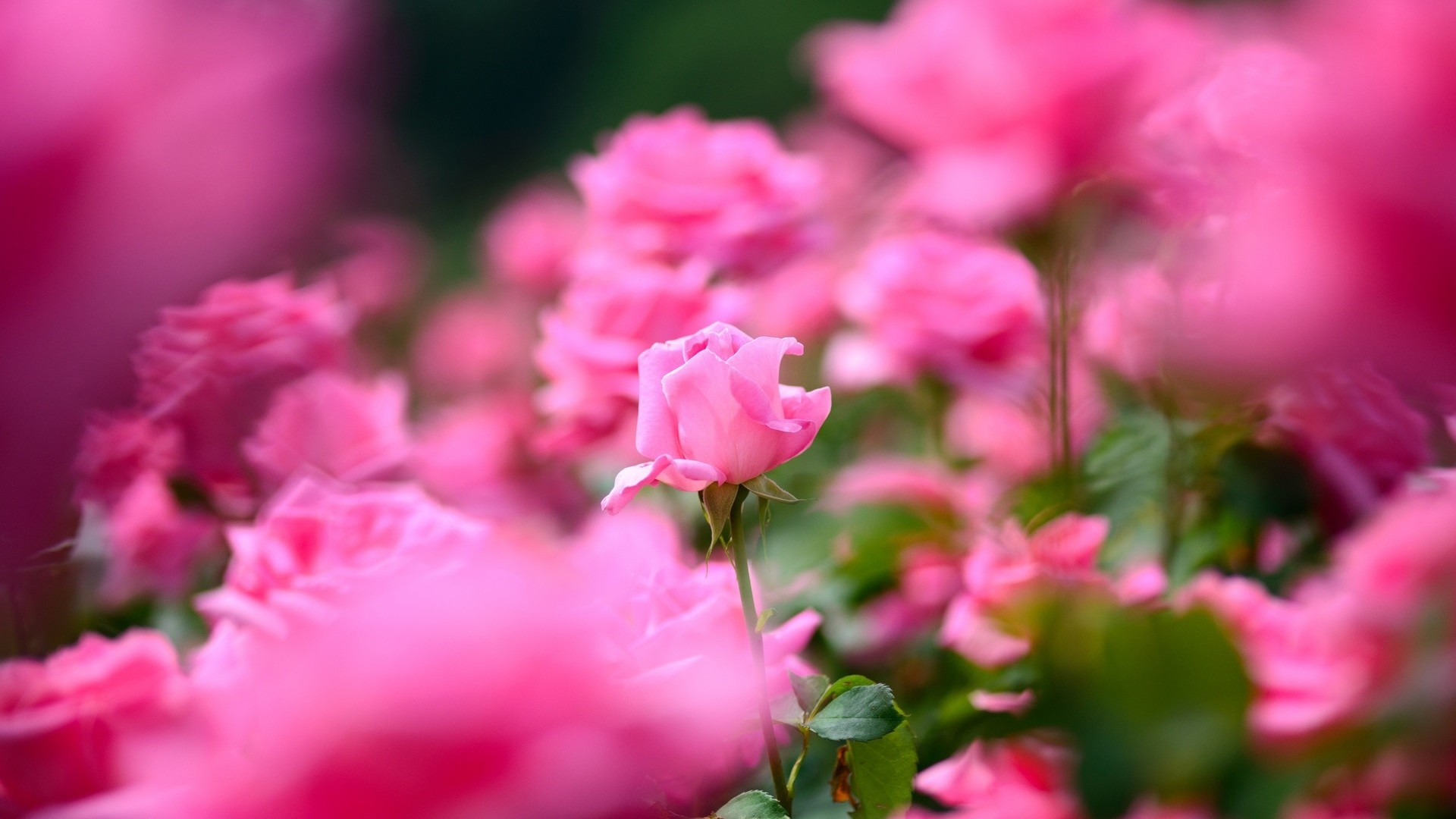 Pink Rose Full HD Wallpaper