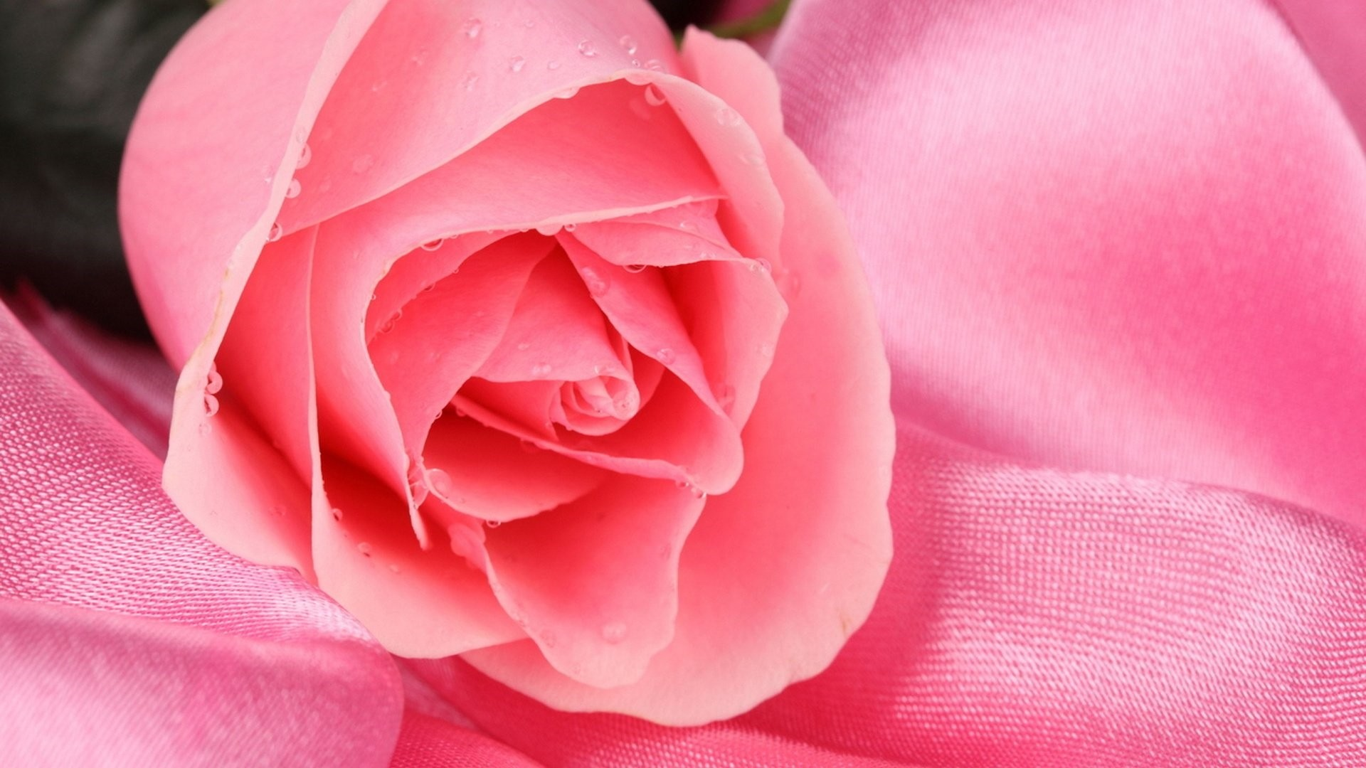 Pink Rose hd wallpaper download