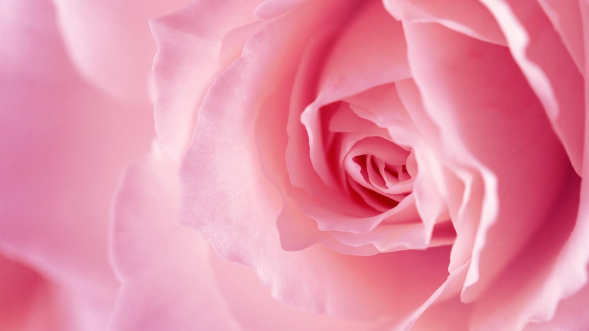 Pink Rose Download Wallpaper