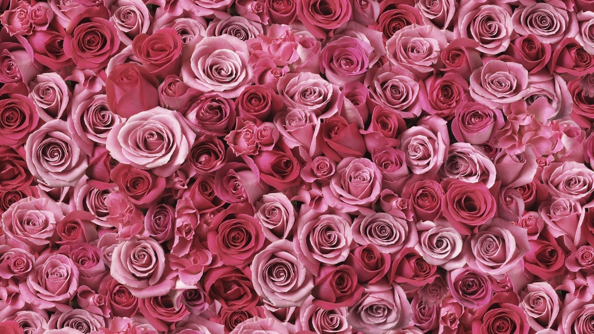 Pink Rose Wallpaper image hd