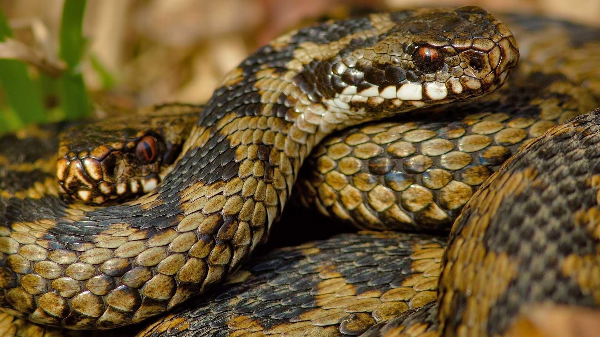 Snake Wallpaper for pc