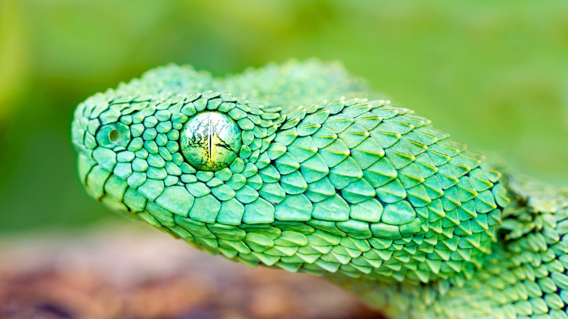 Snake hd wallpaper download