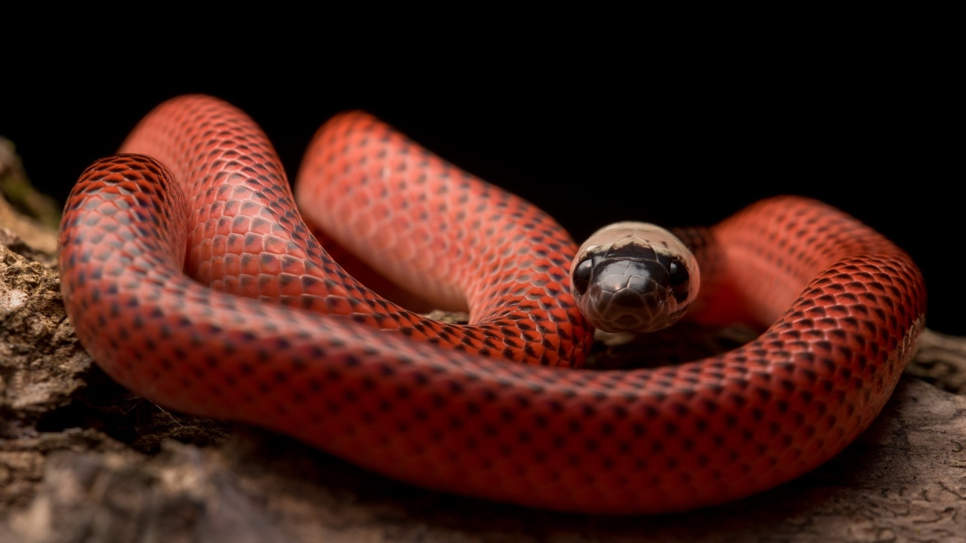 Snake HD Wallpaper