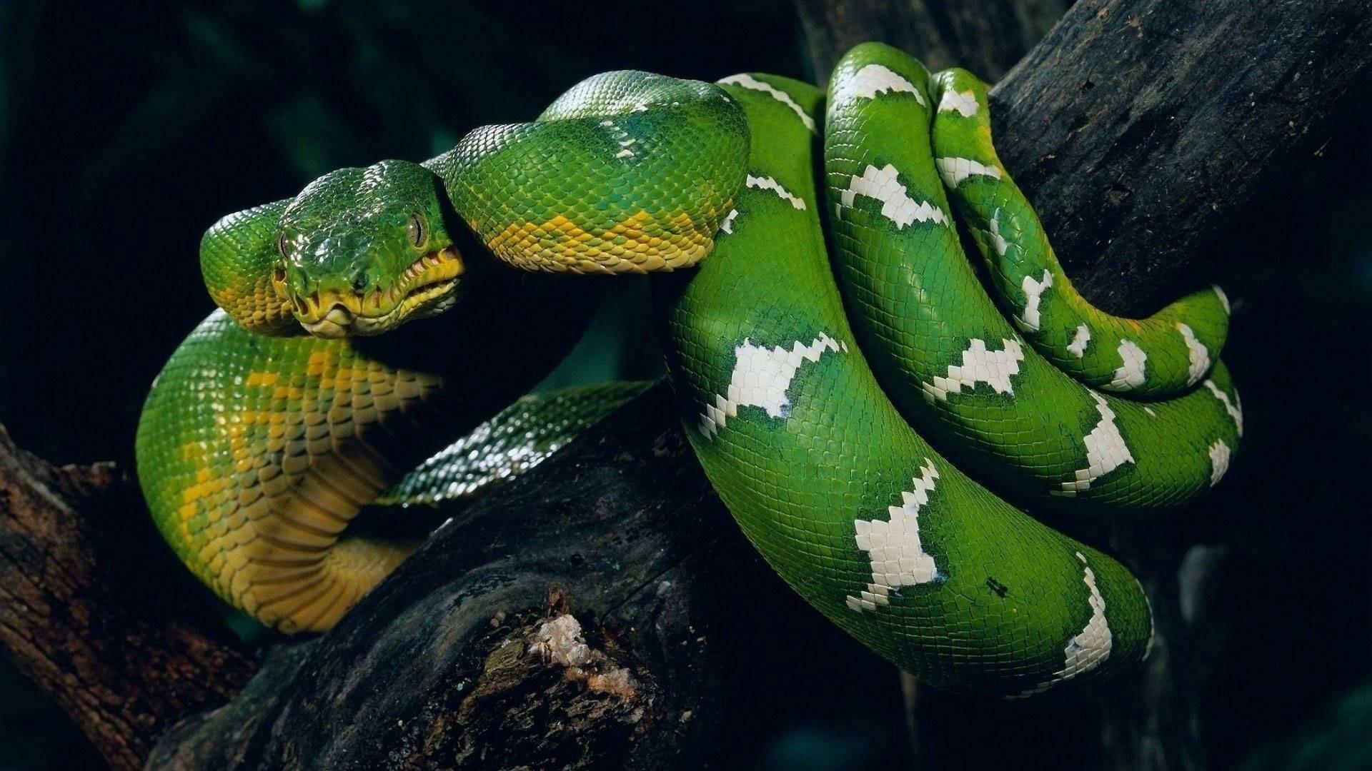 Snake Free Wallpaper