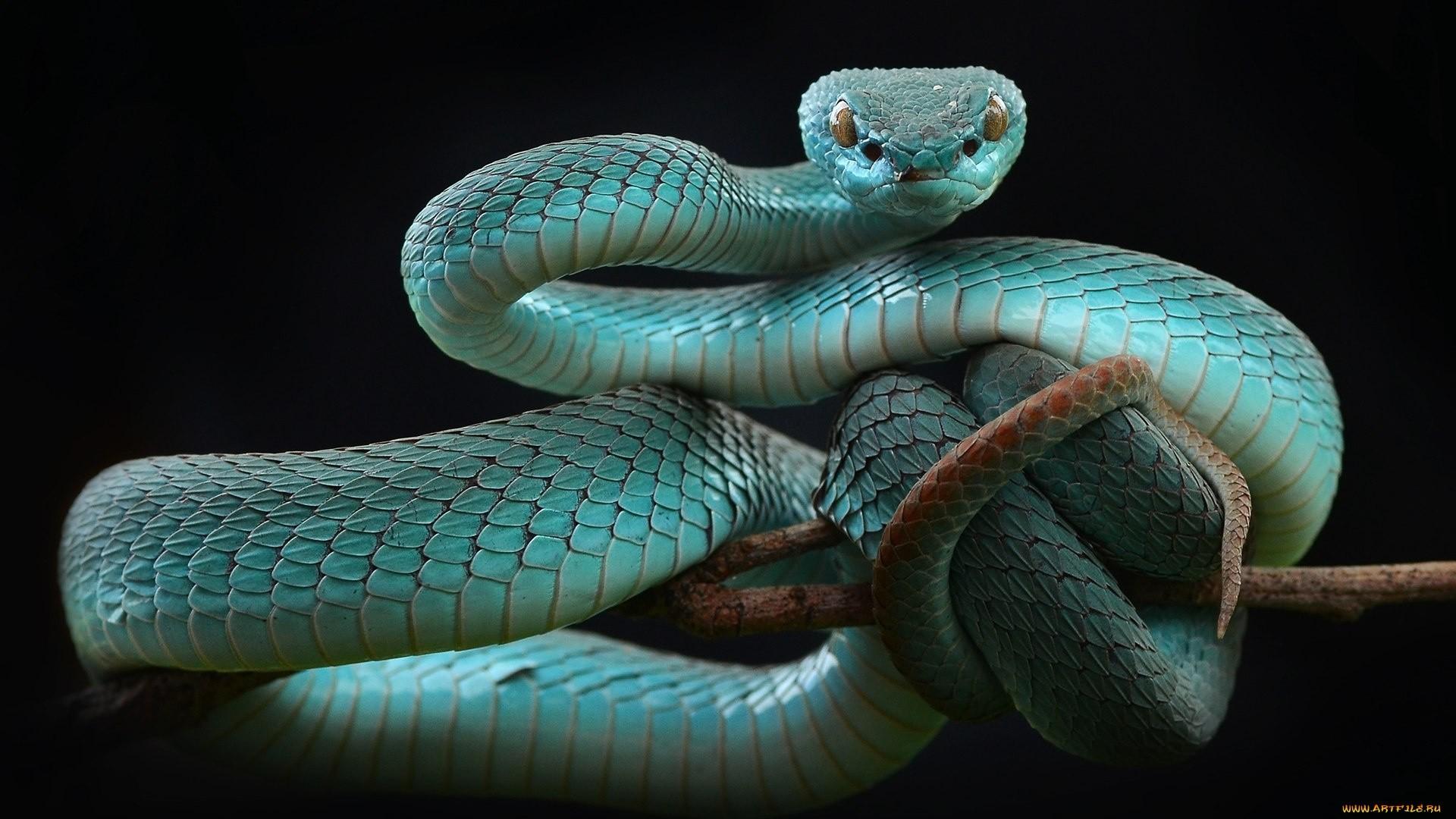 Snake Wallpaper theme
