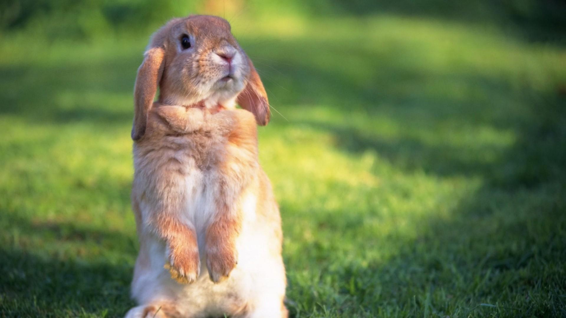 Bunny computer wallpaper