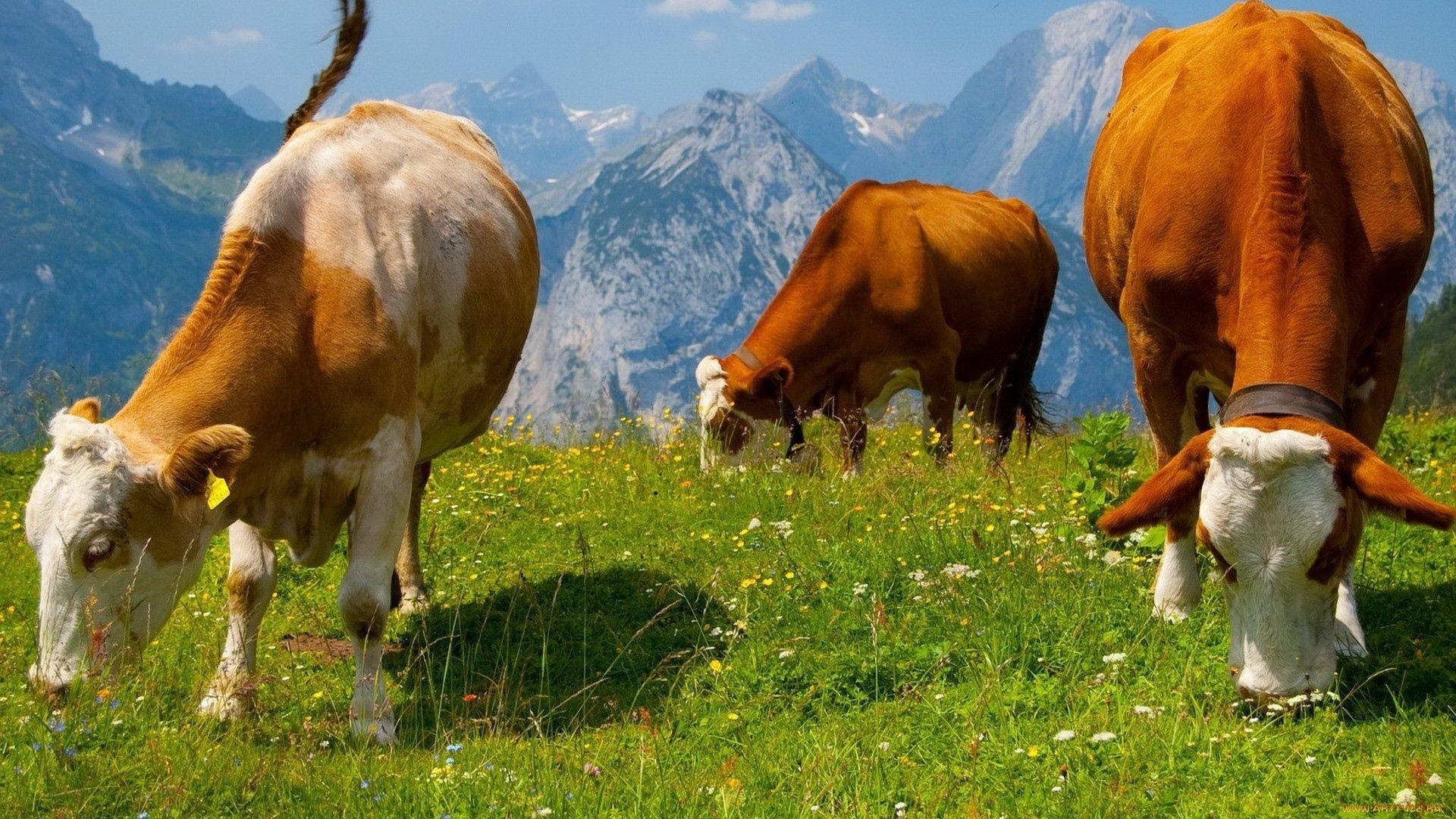 Cow PC Wallpaper HD