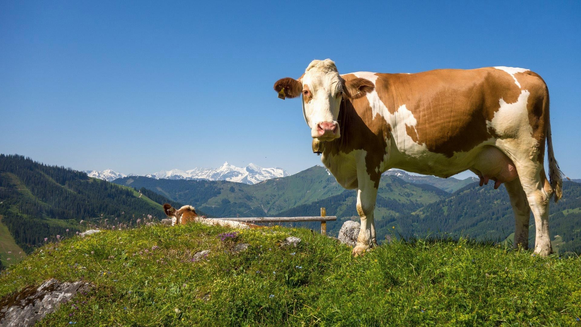Cow computer wallpaper