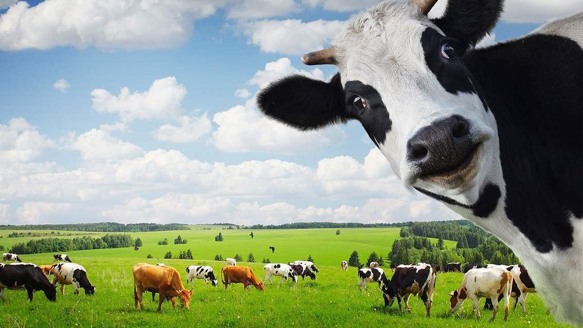 Cow Background Wallpaper