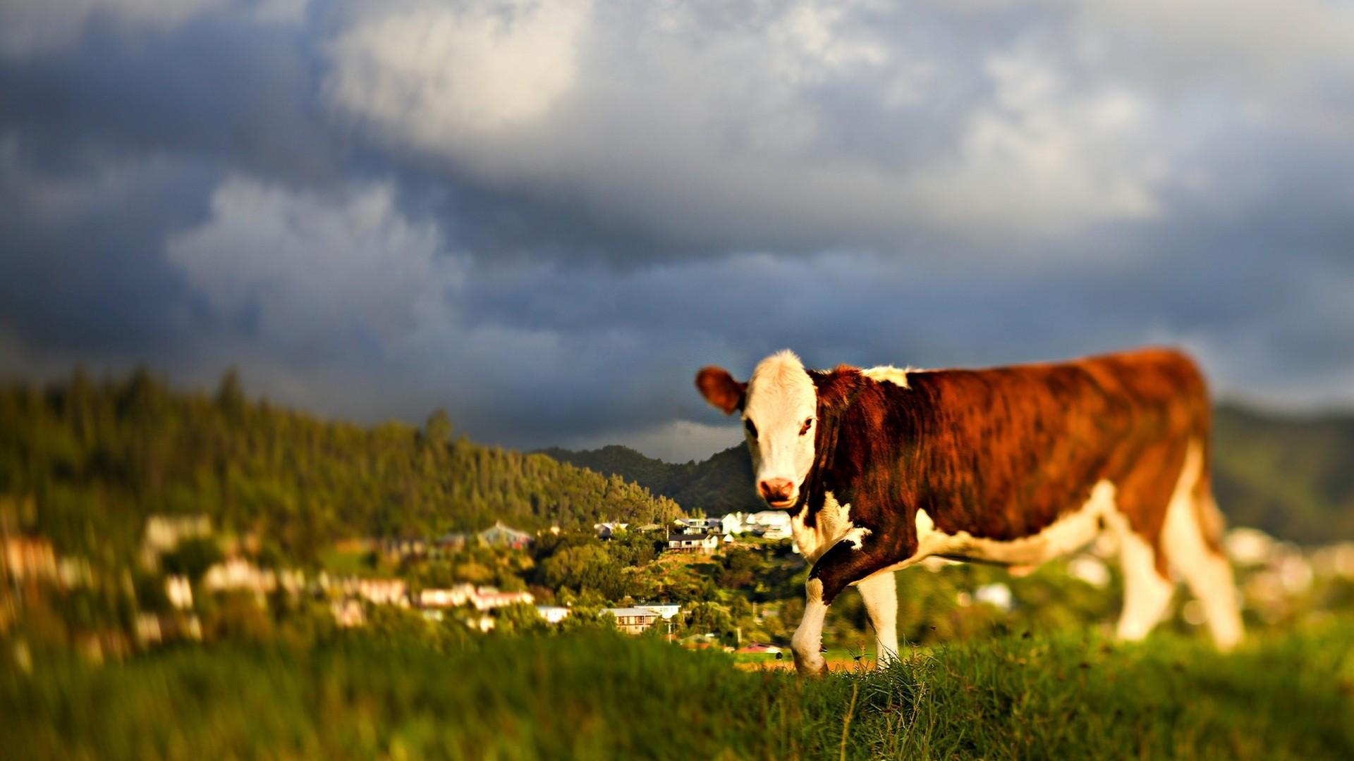Cow Free Wallpaper