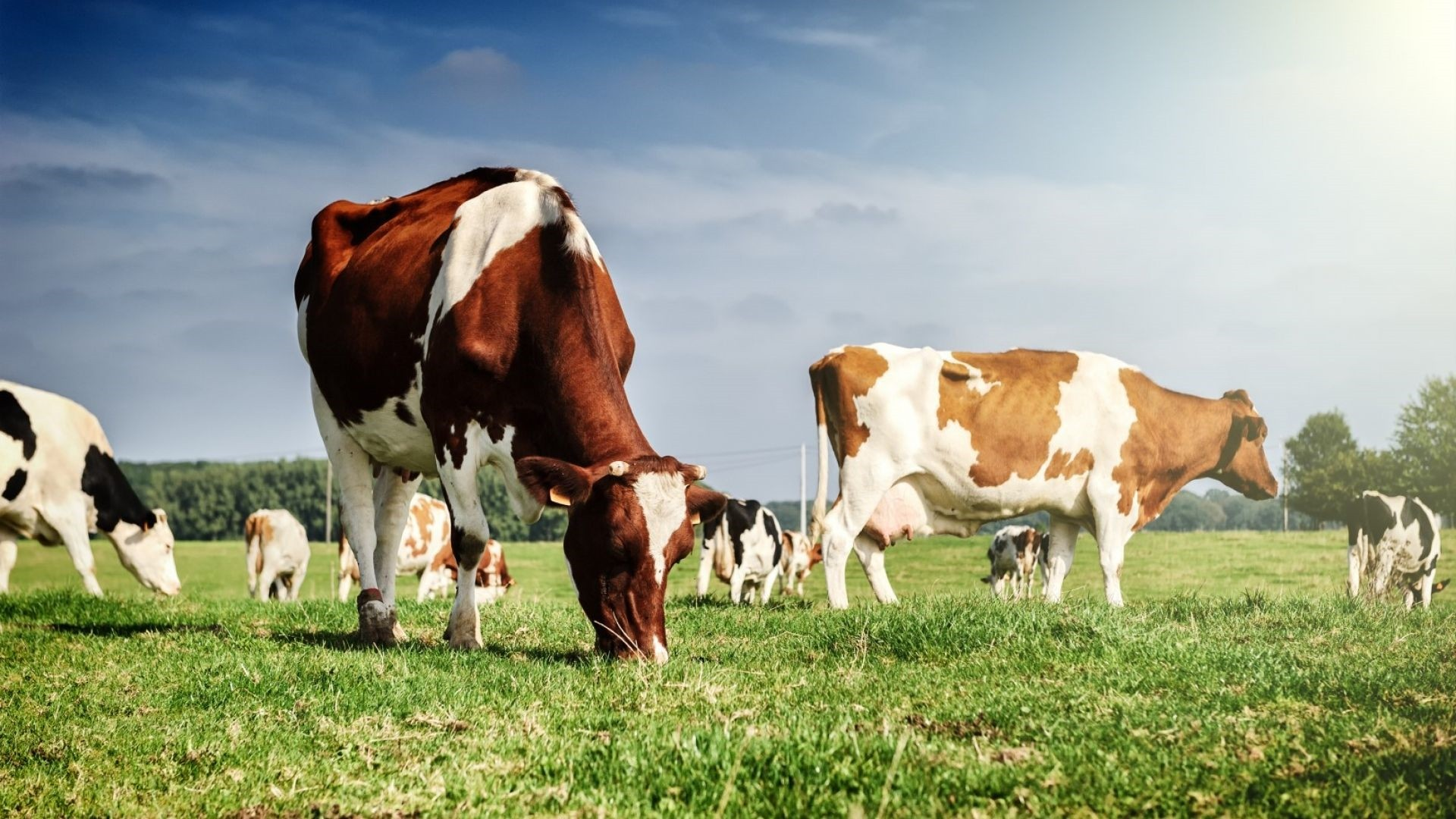Cow PC Wallpaper