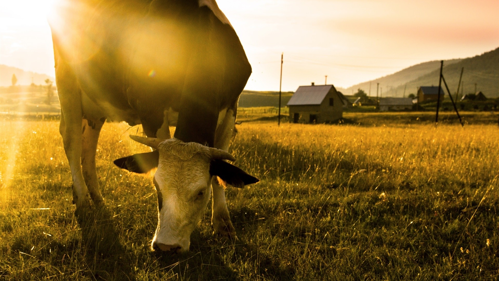 Cow Free Wallpaper and Background