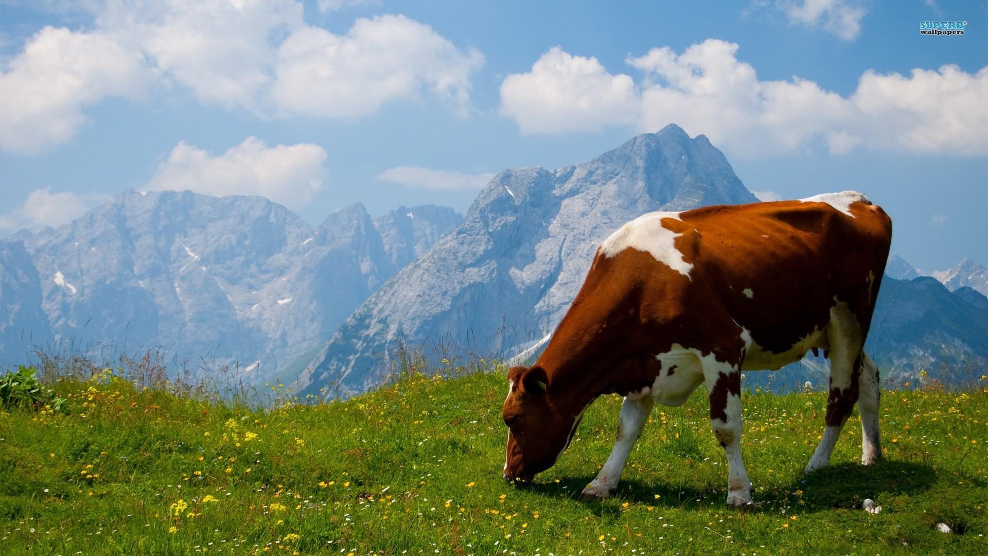 Cow Wallpaper theme