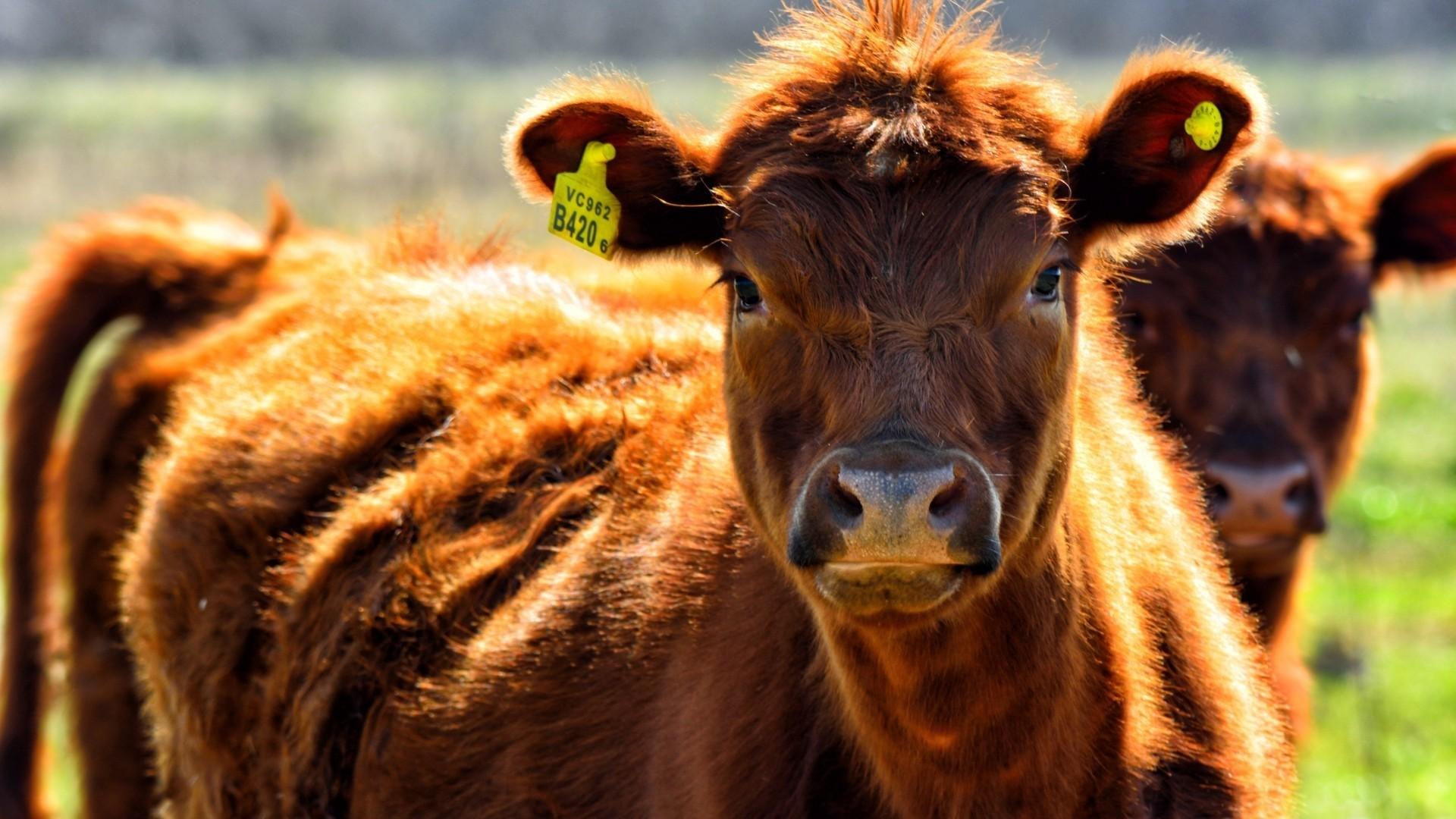 Cow Full HD Wallpaper