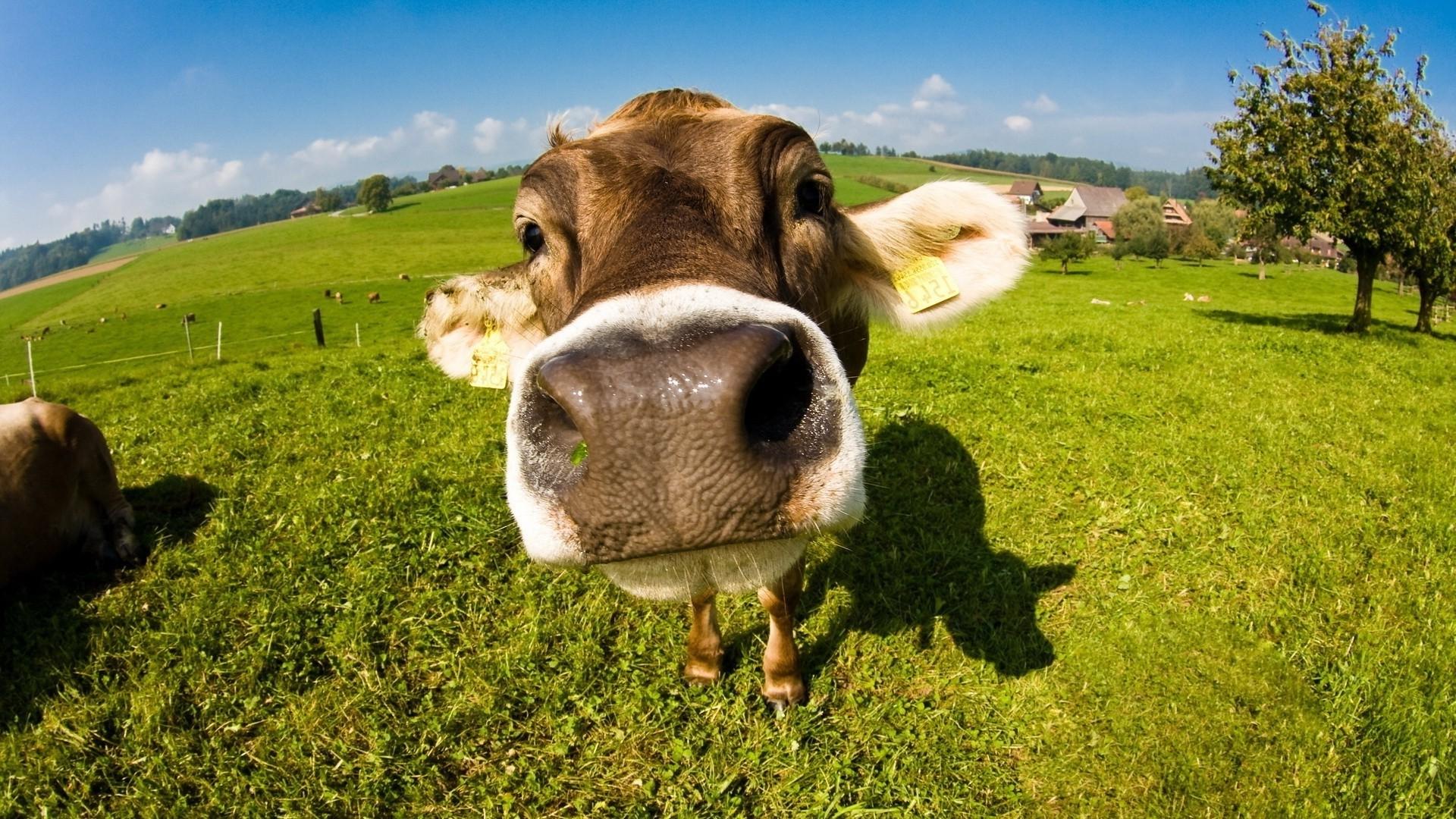 Cow hd desktop wallpaper