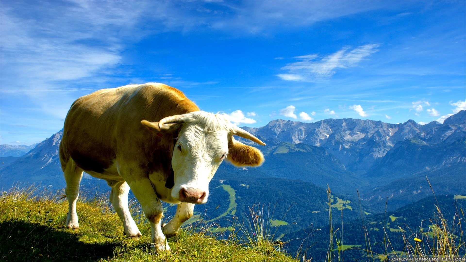 Cow High Quality