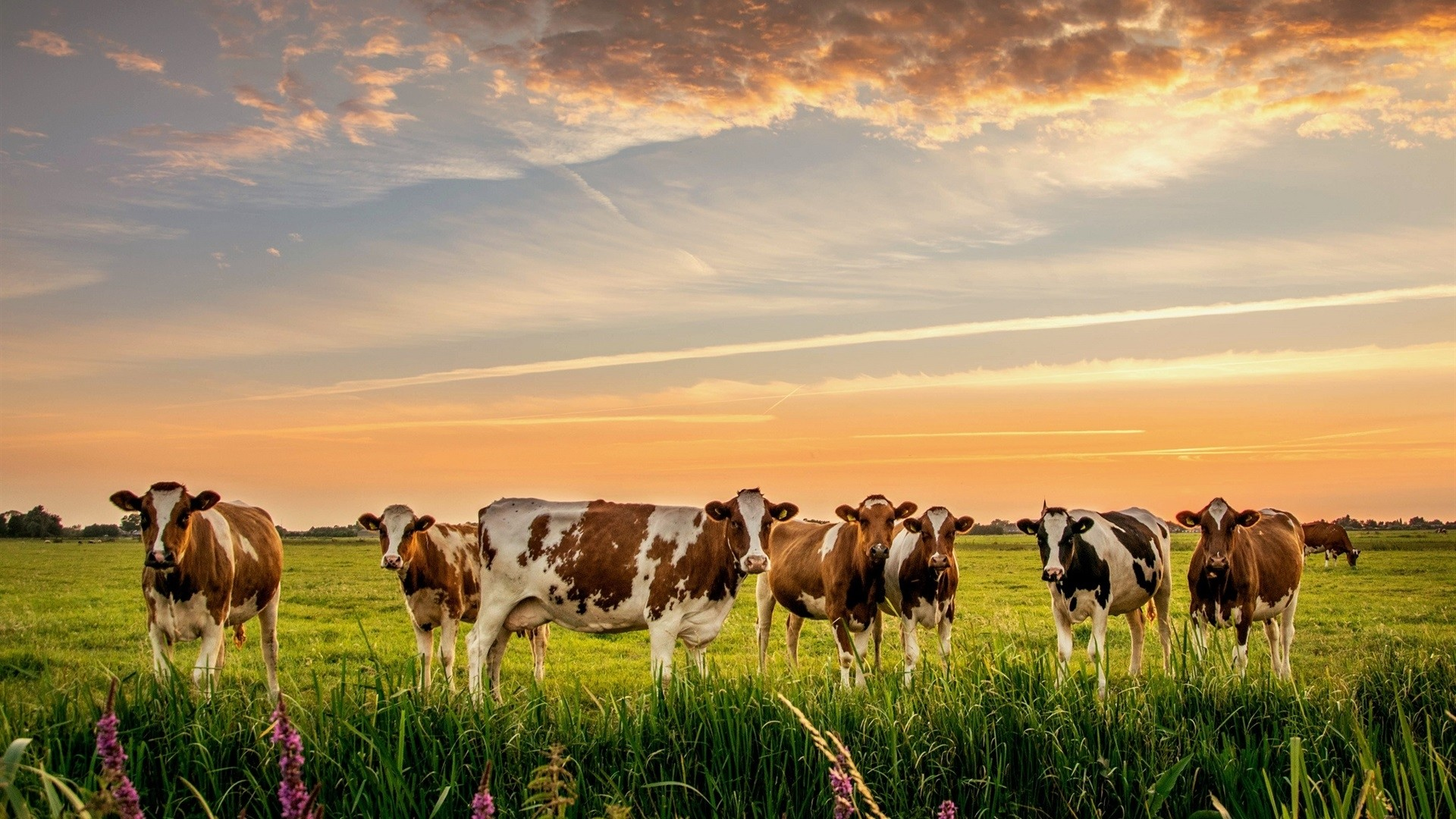 Cow a wallpaper
