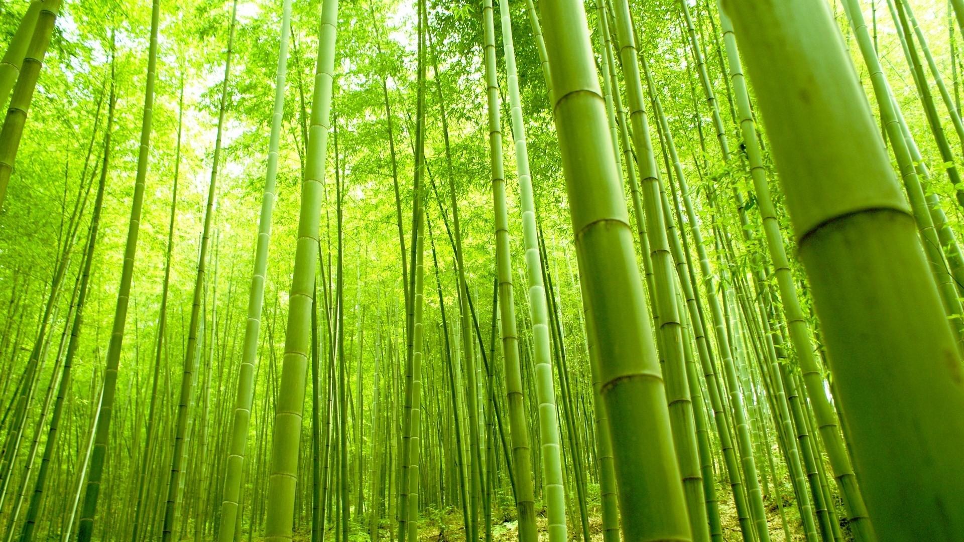 Bamboo hd wallpaper download