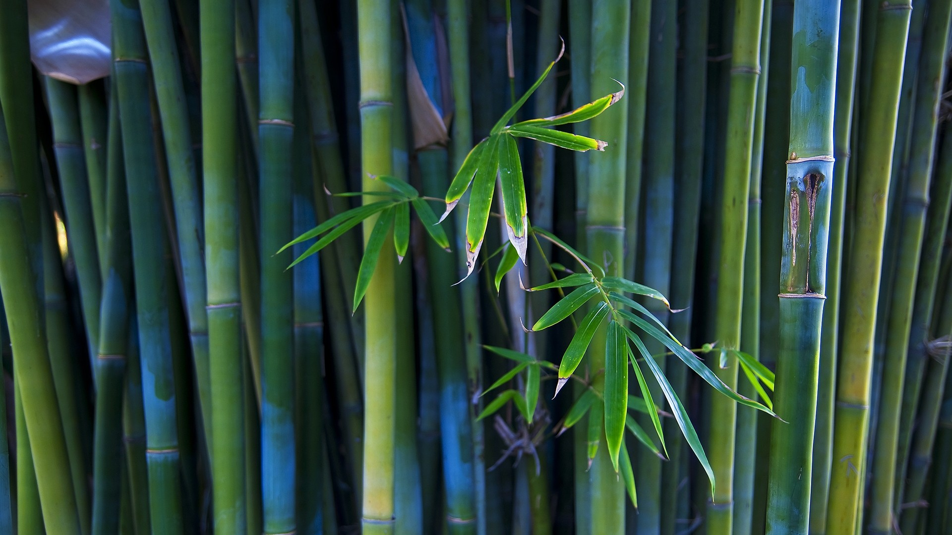 Bamboo Free Wallpaper and Background