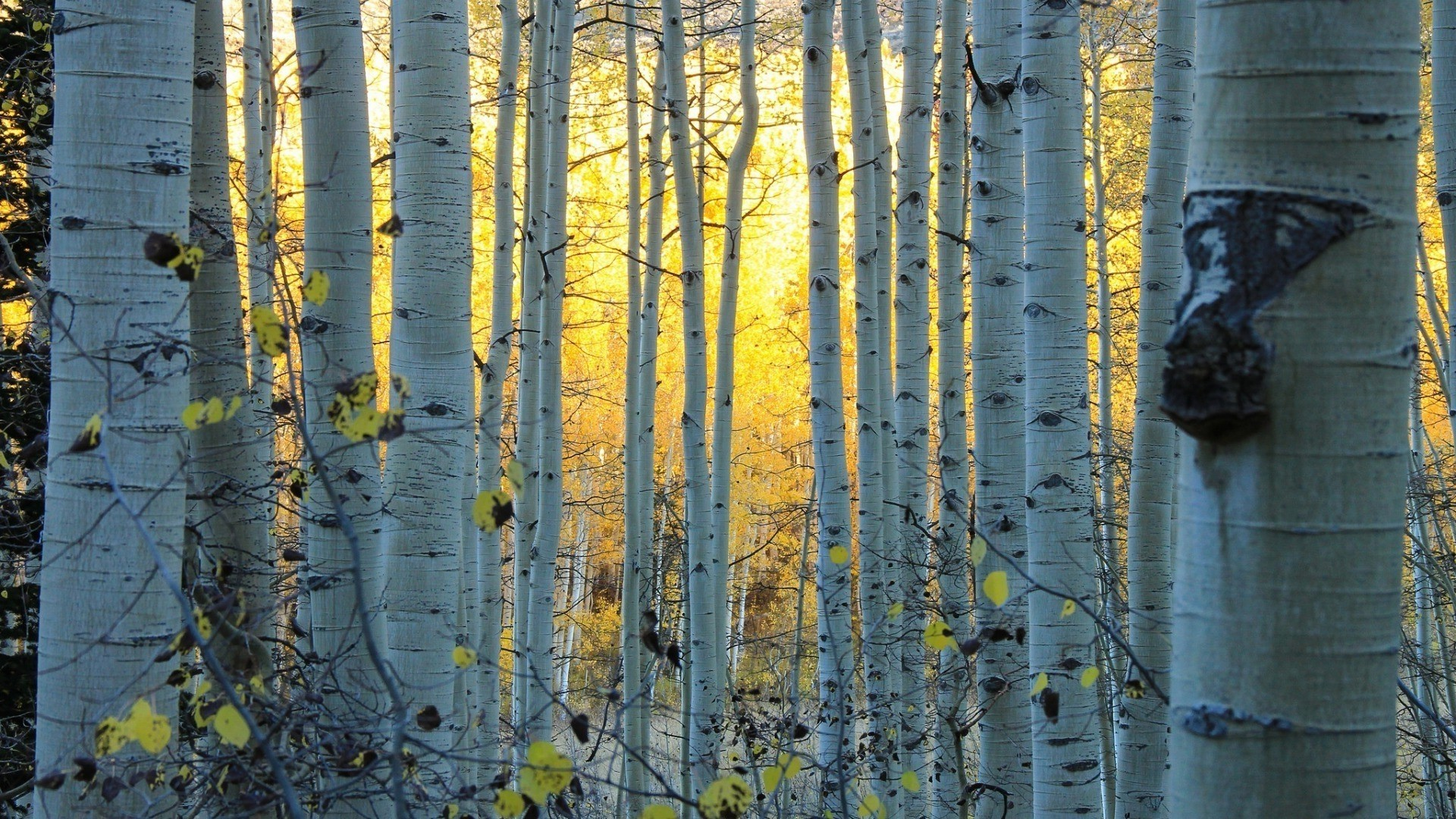 Birch Tree Desktop Wallpaper