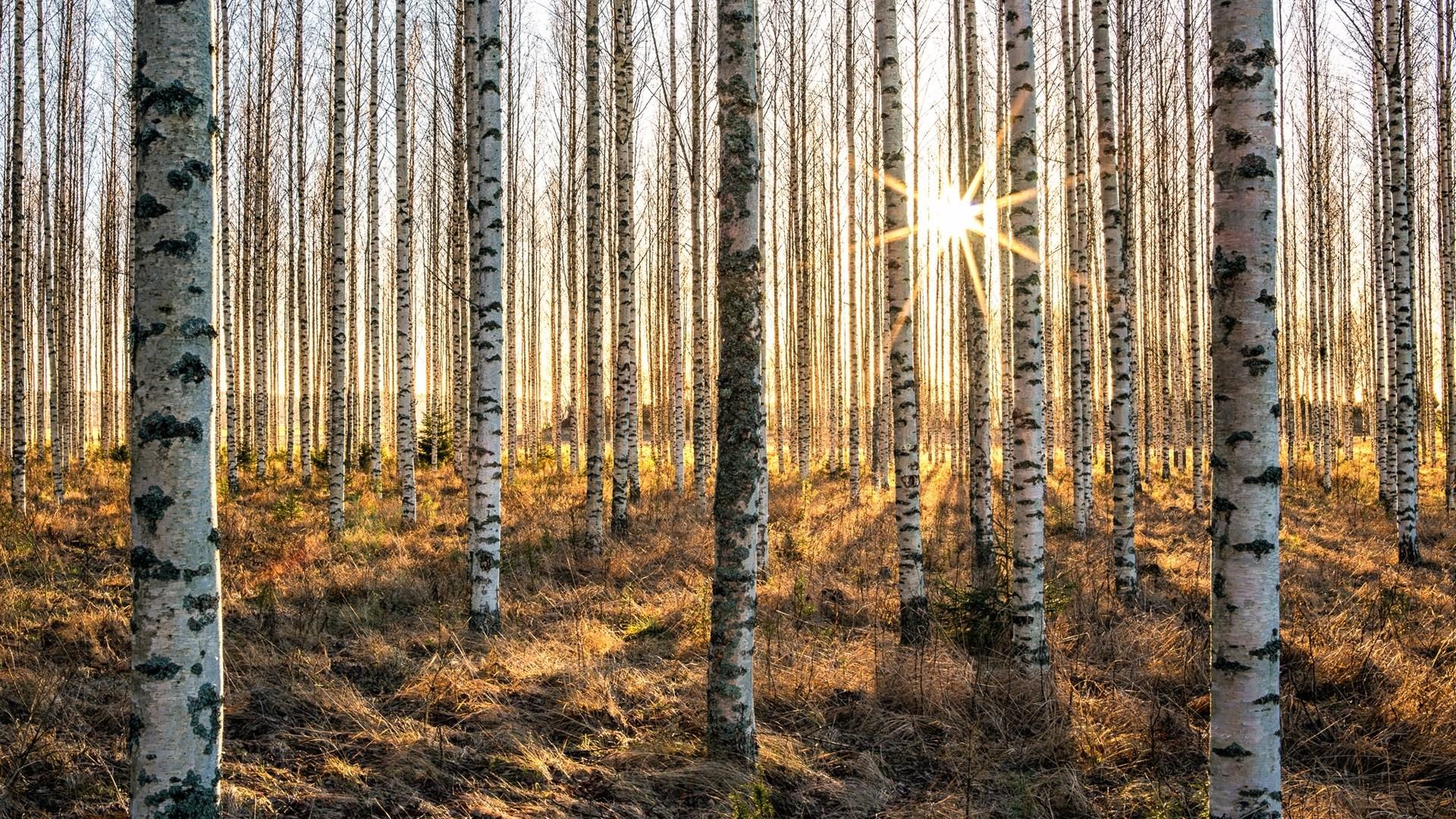 Birch Tree Wallpaper Picture hd