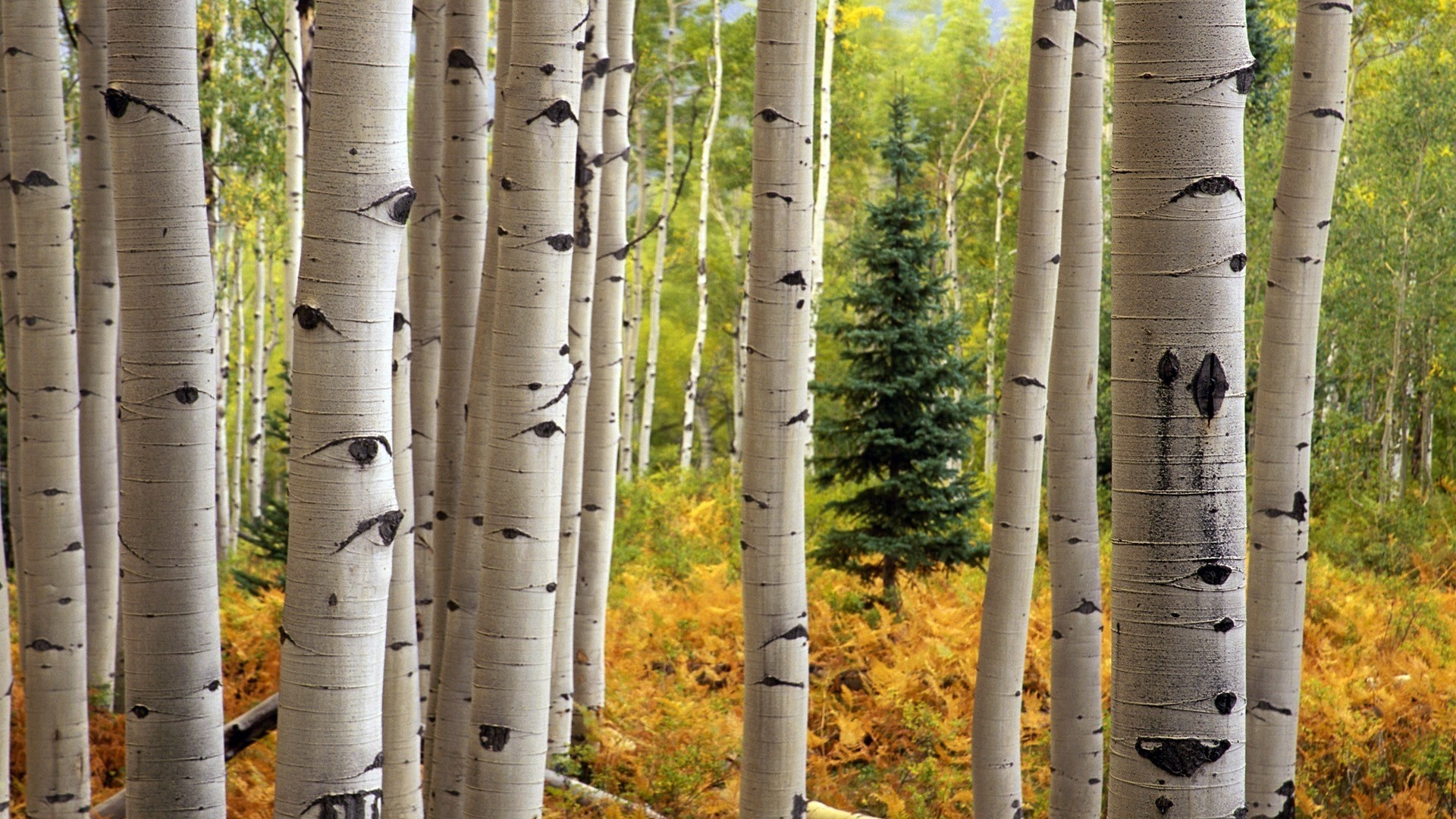 Birch Tree Wallpaper