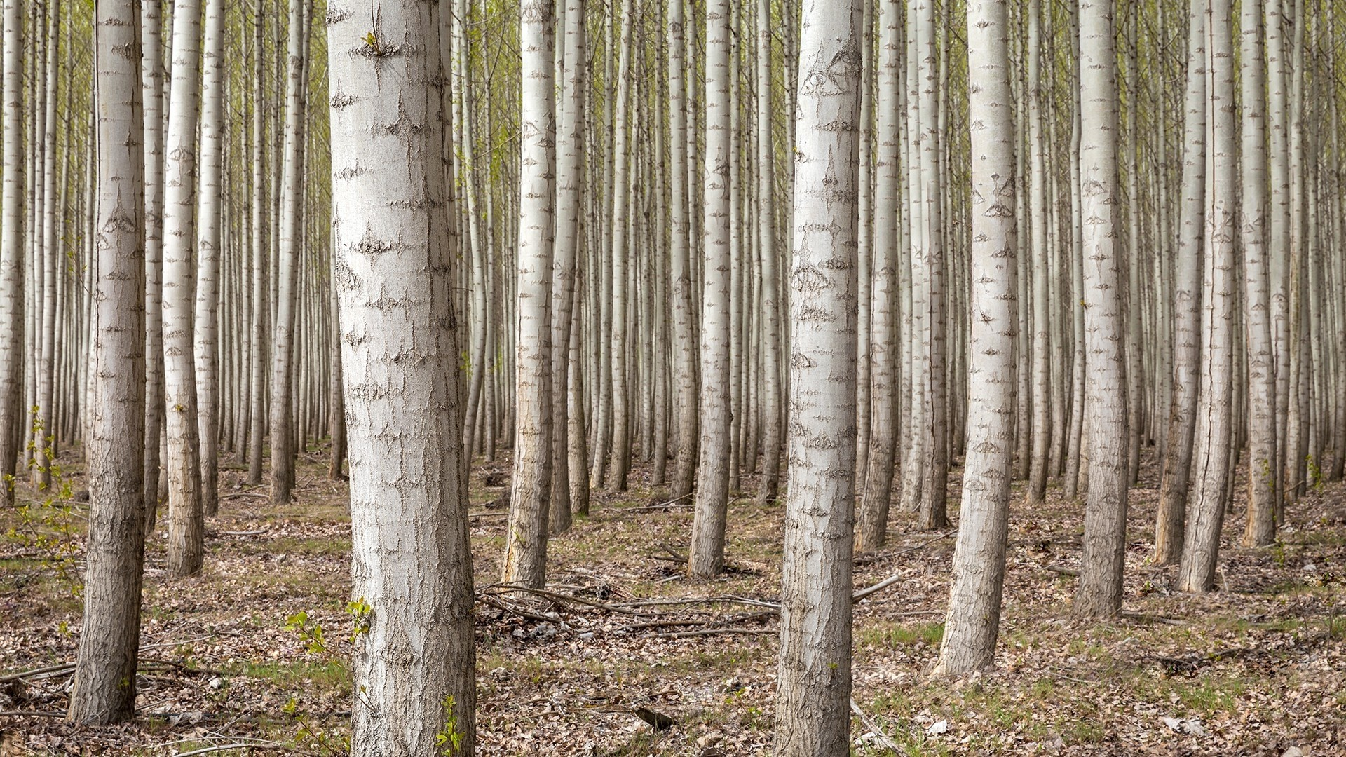 Birch Tree HD Wallpaper