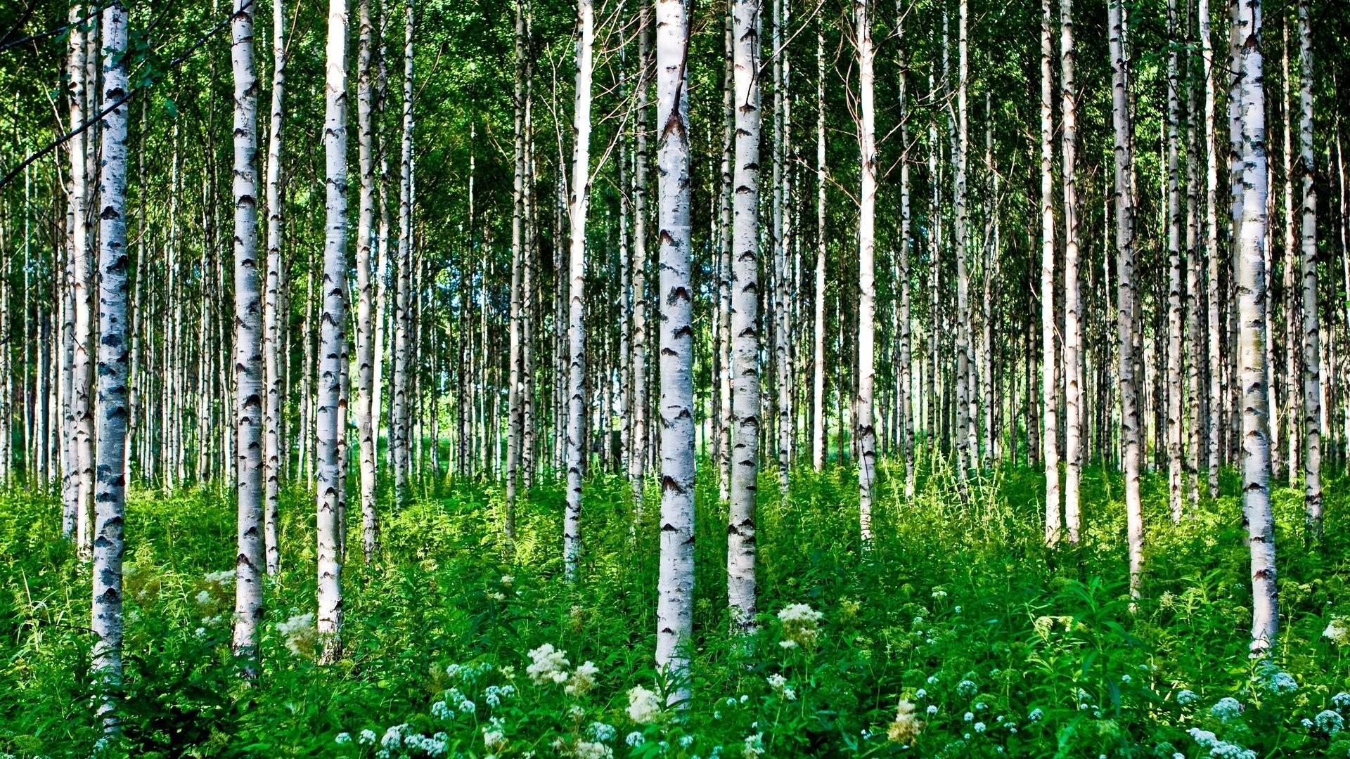 Birch Tree Free Wallpaper and Background