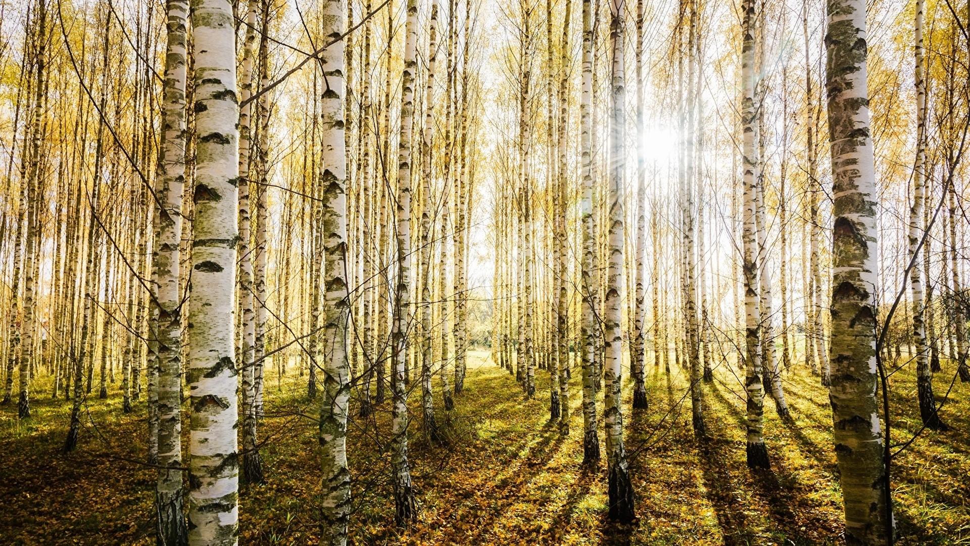 Birch Tree Background Wallpaper