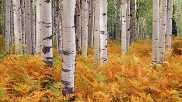 Birch Tree HD Wallpaper